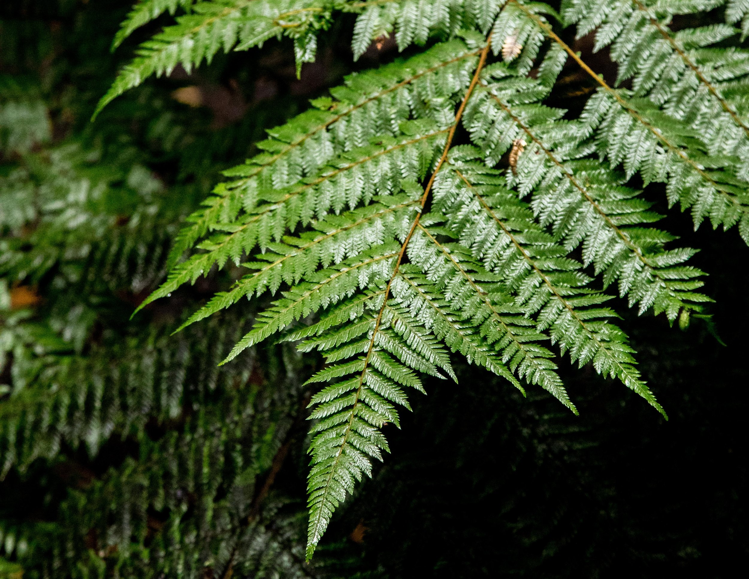 Fern on the Rakiura Track, Stewart Island