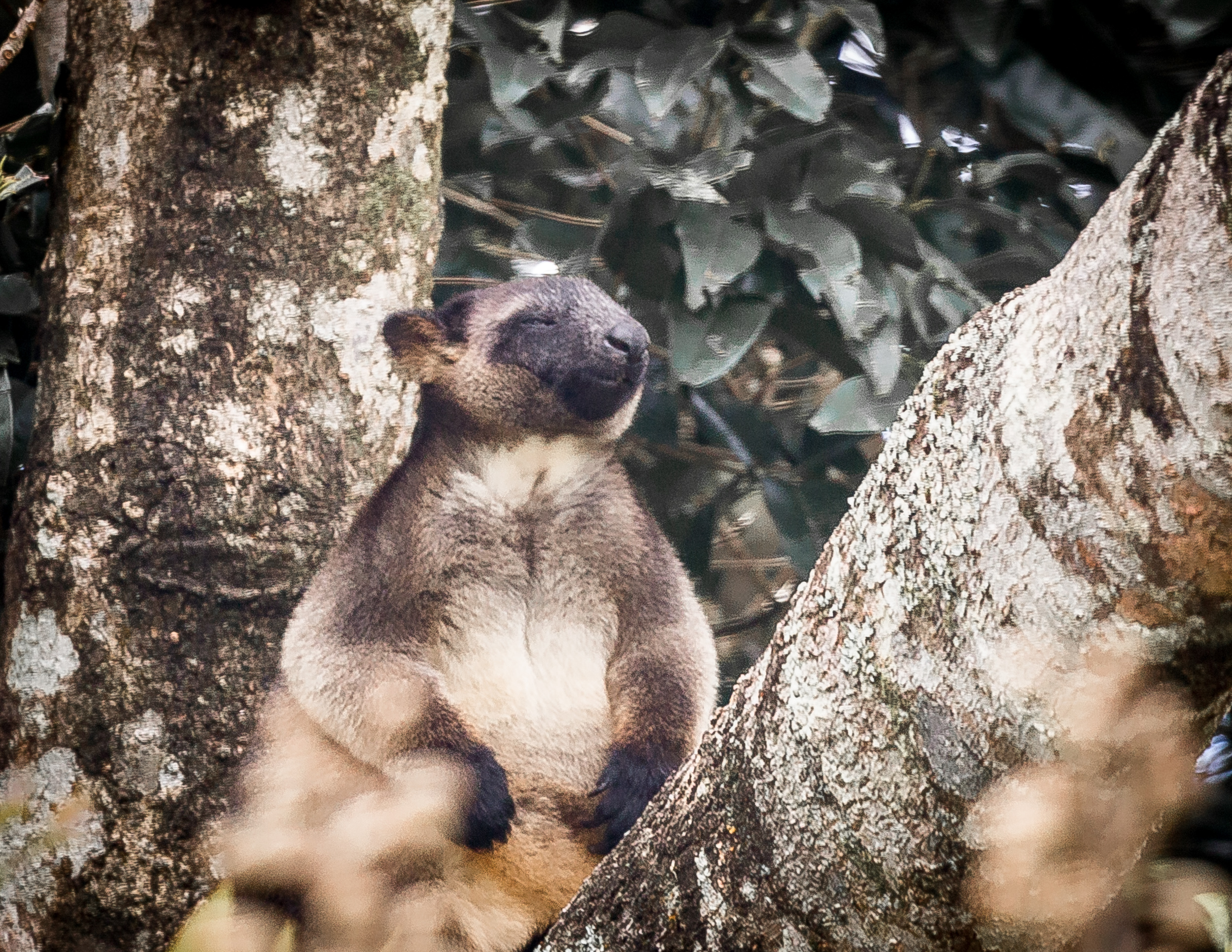 Tree Kangaroo at Nerada Tea Plantation, Atherton Tablelands, Queensland