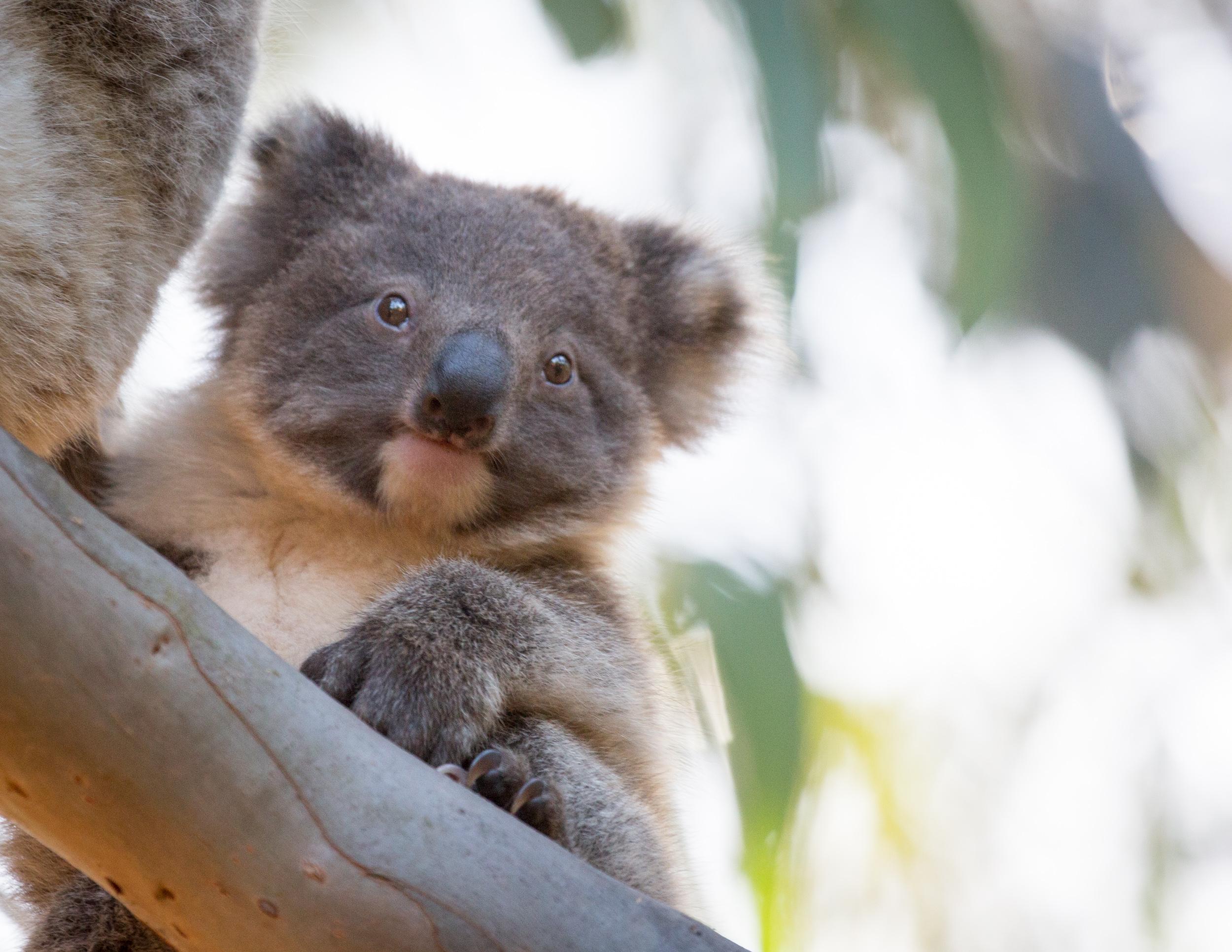 One of the koalas at Hanson Bay, Kangaroo Island