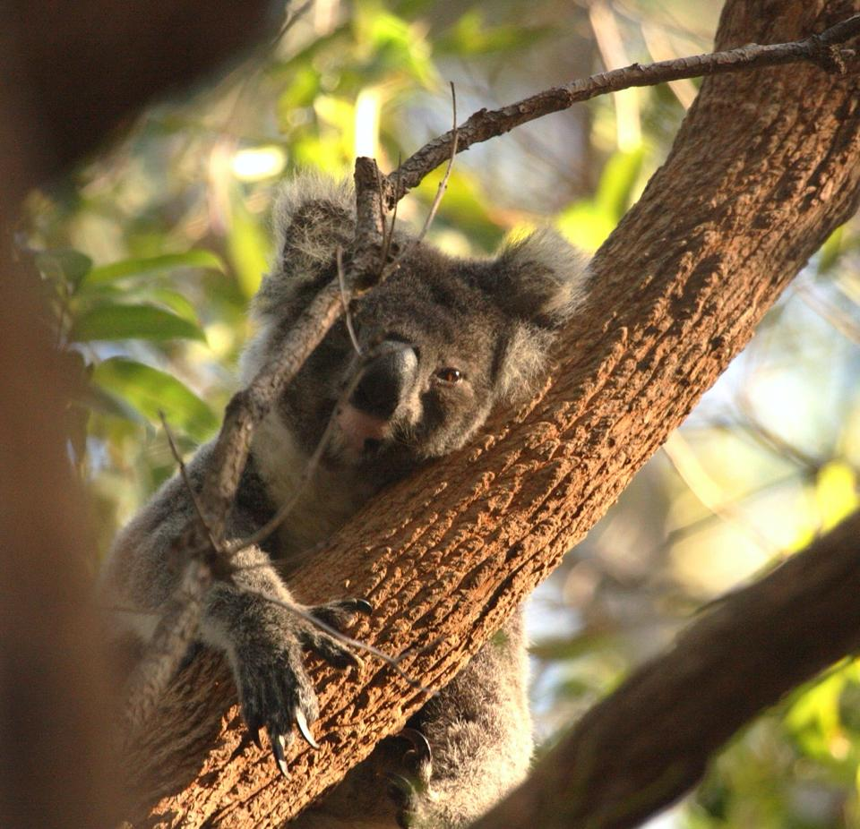 Koala at Port MacQuarie, Where to see wild koalas in Australia