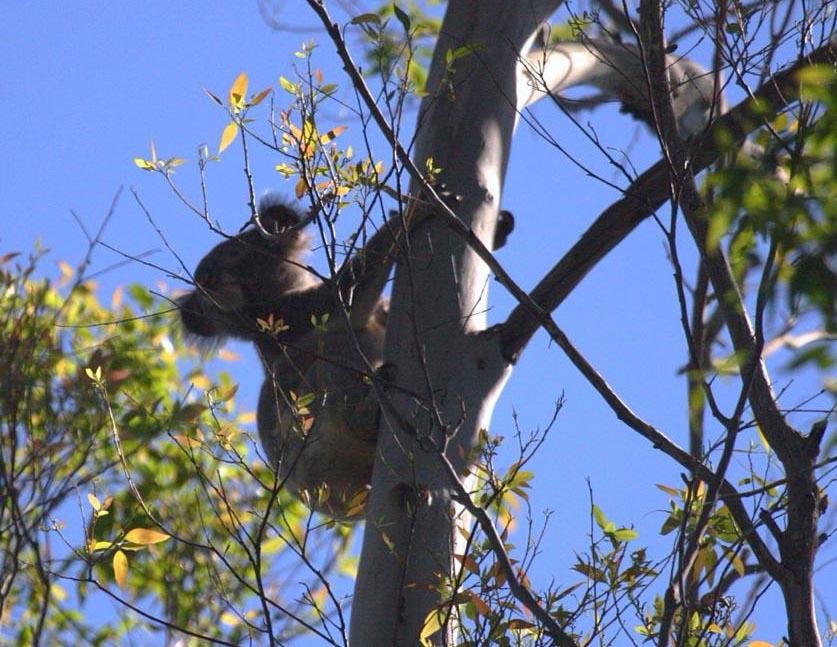 Koala at Tucki Tucki, Where to see wild koalas in Australia