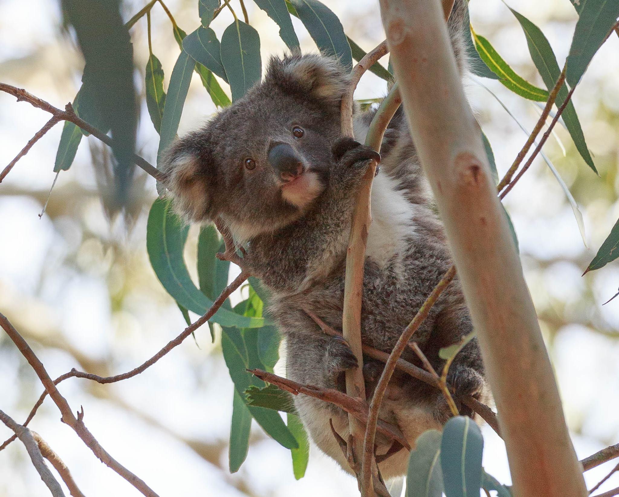 Koalas in Harriet River, Where to see wild koalas in Australia