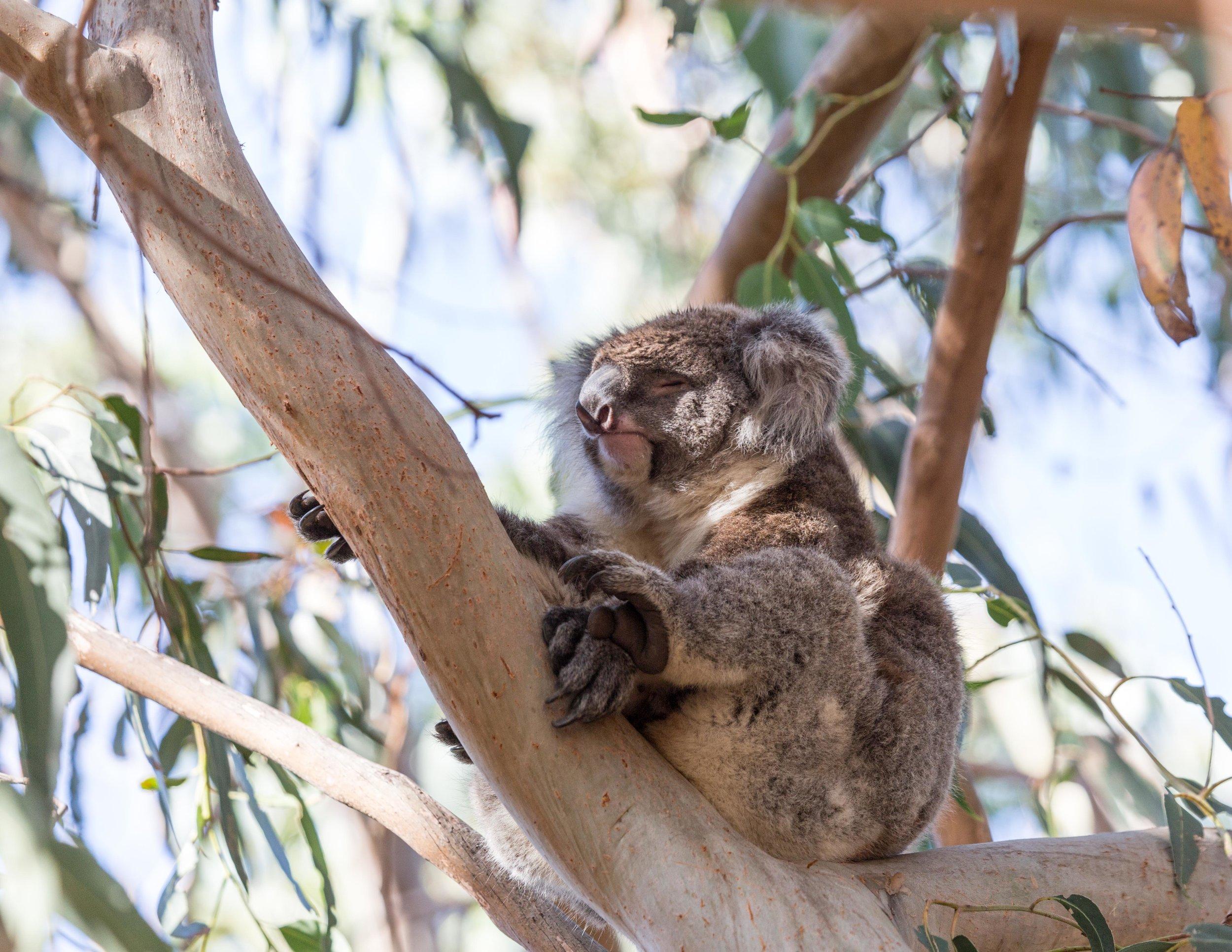 Koalas on the Great Ocean Road, Where to see wild koalas in Australia