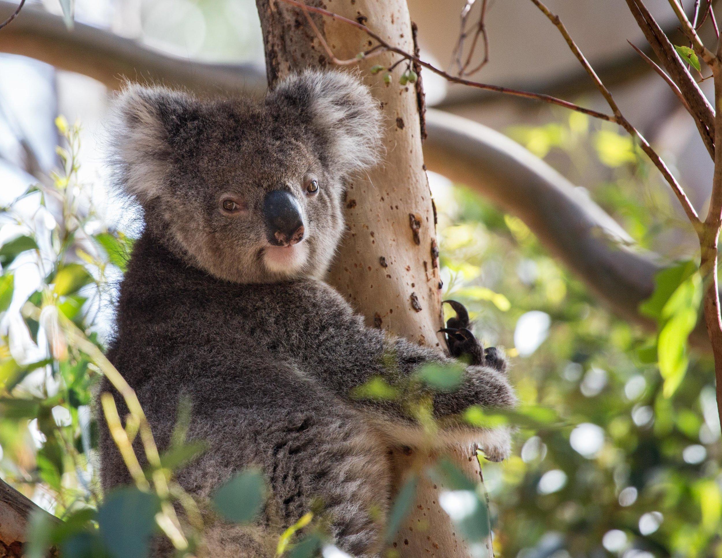 Tidbinbilla Reserve, Where to see wild koalas in Australia