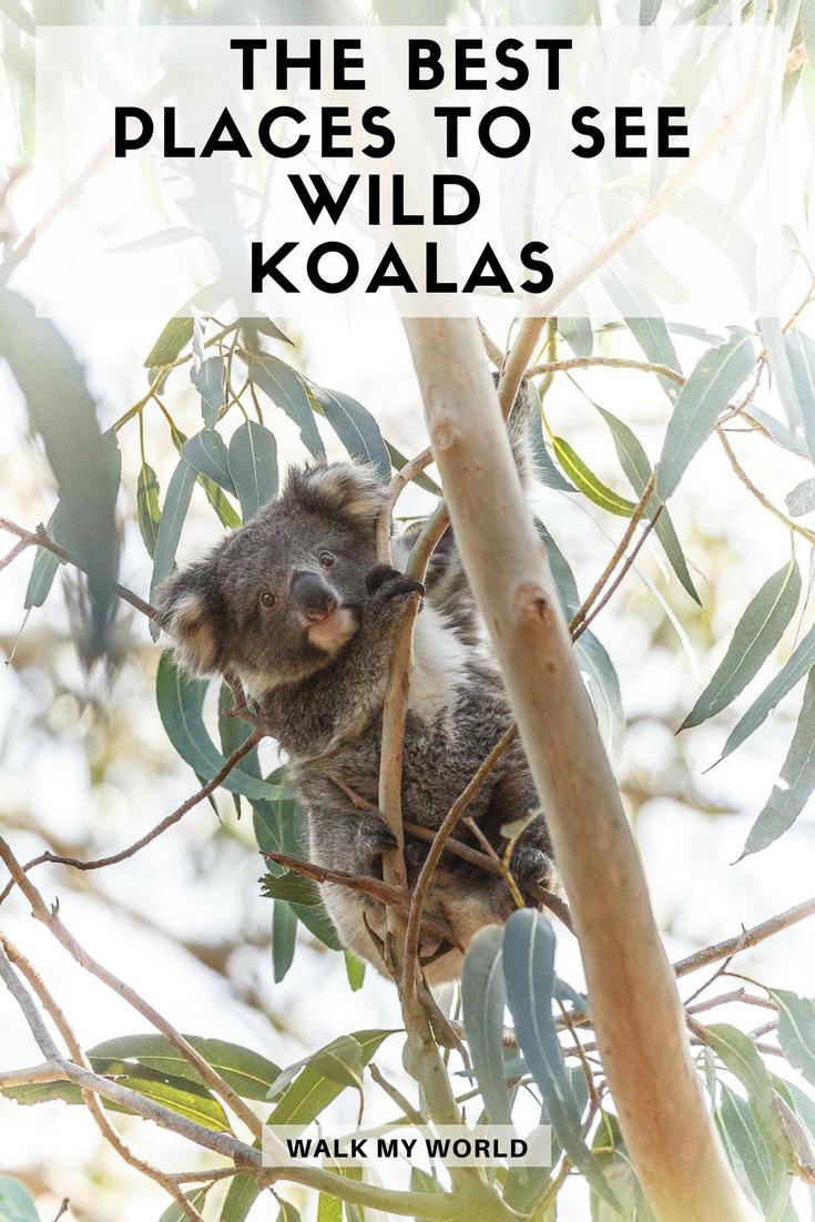 Best places to see wild koalas in Australia — Walk My World