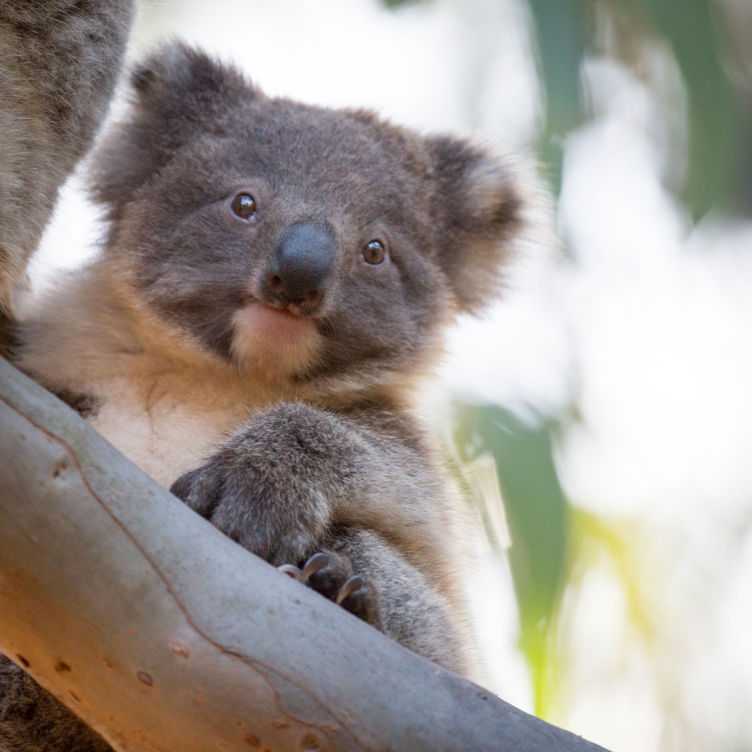Koala: best of Australia