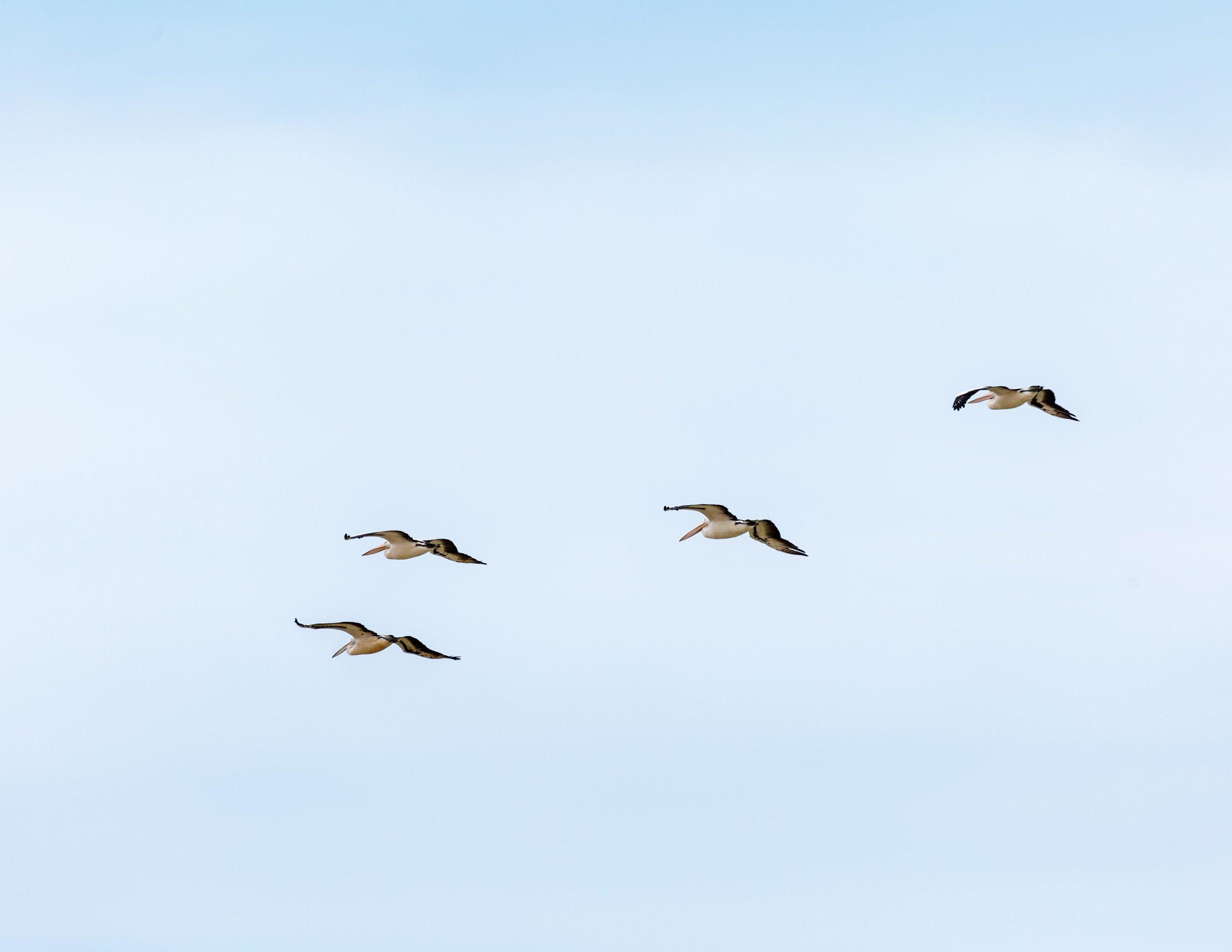 Pelicans in Coorong