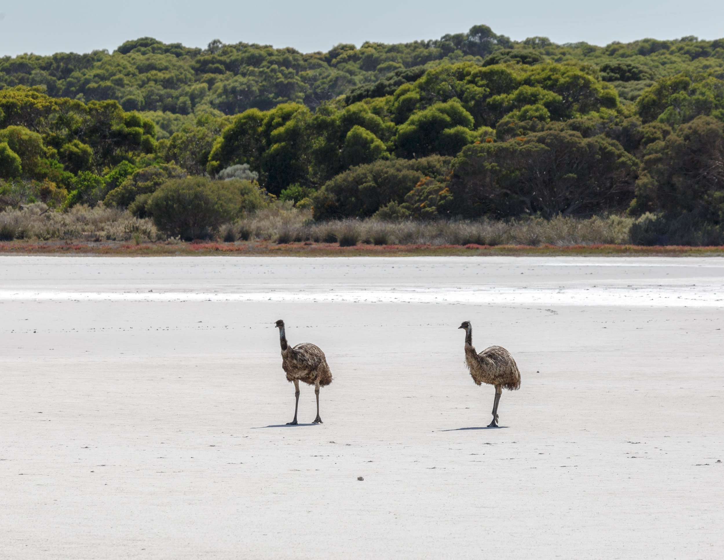 Emus in Coorong