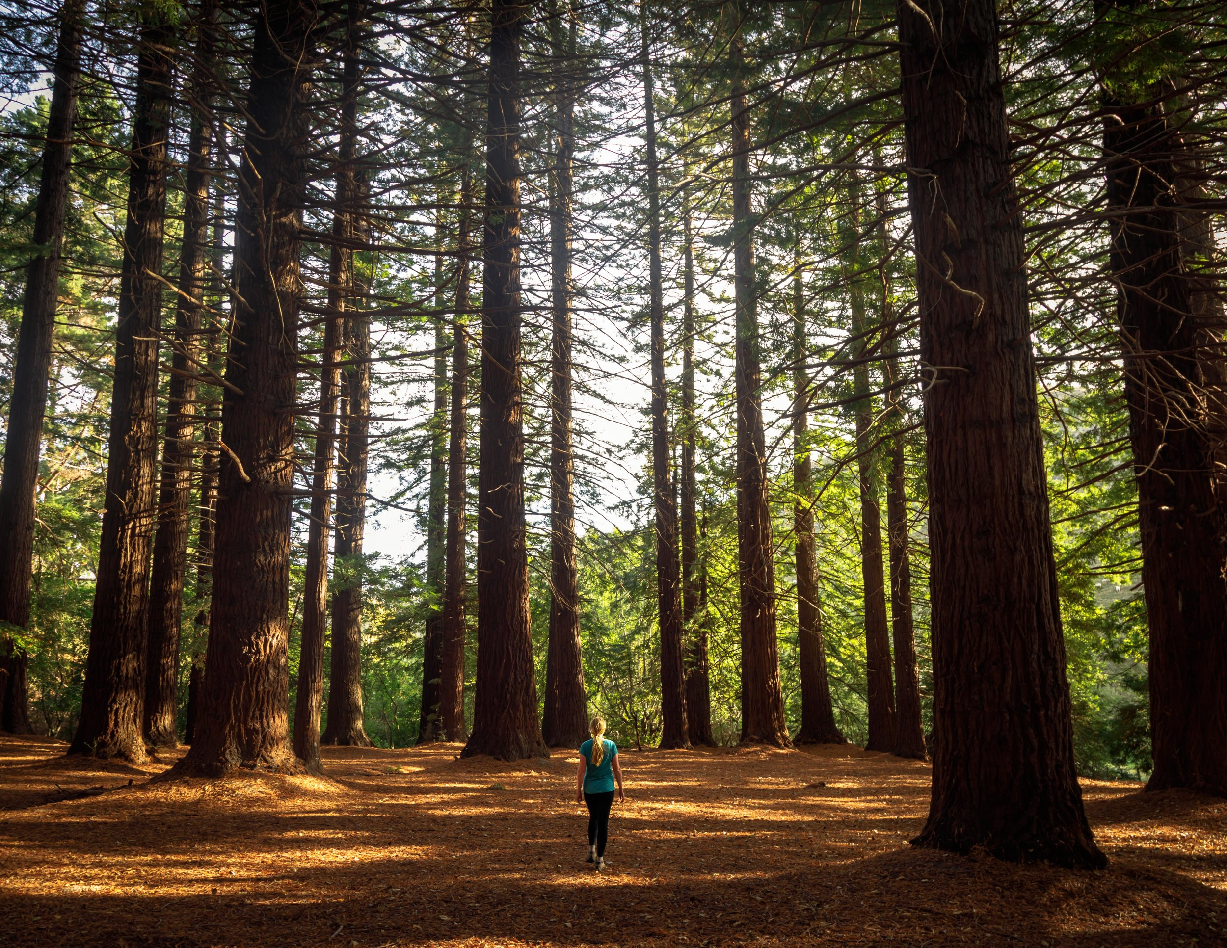 The Big Redwood Forest in Hawkes Bay