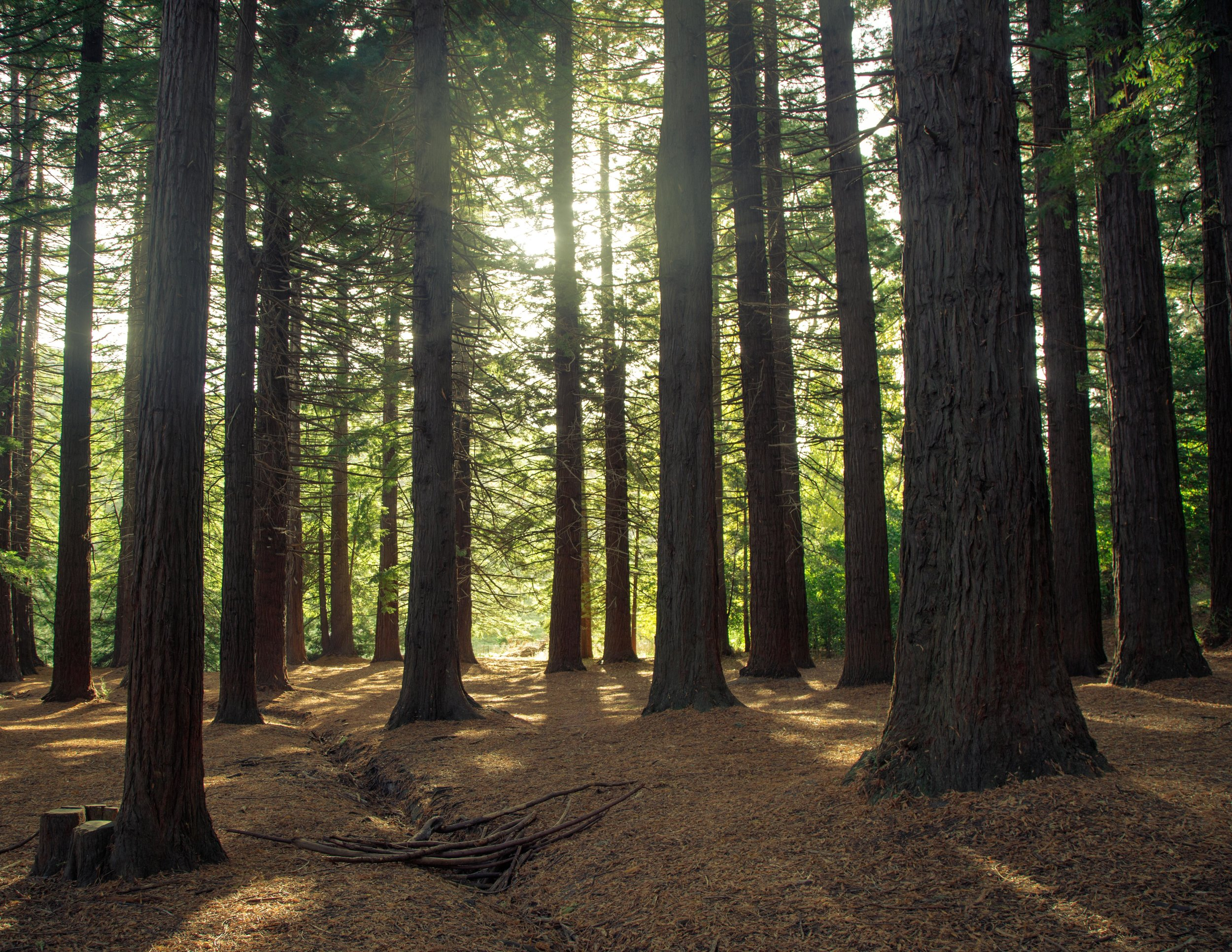 The Big Redwood Forest, Hawkes Bay