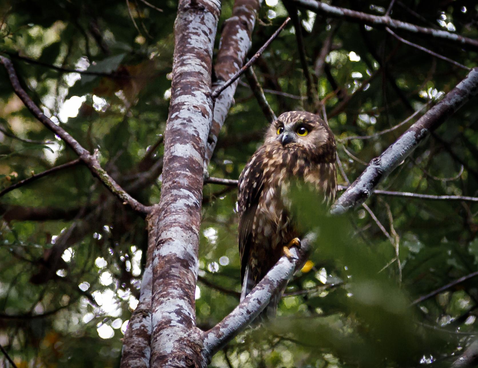 Morepork or Ruru: an owl native to New Zealand