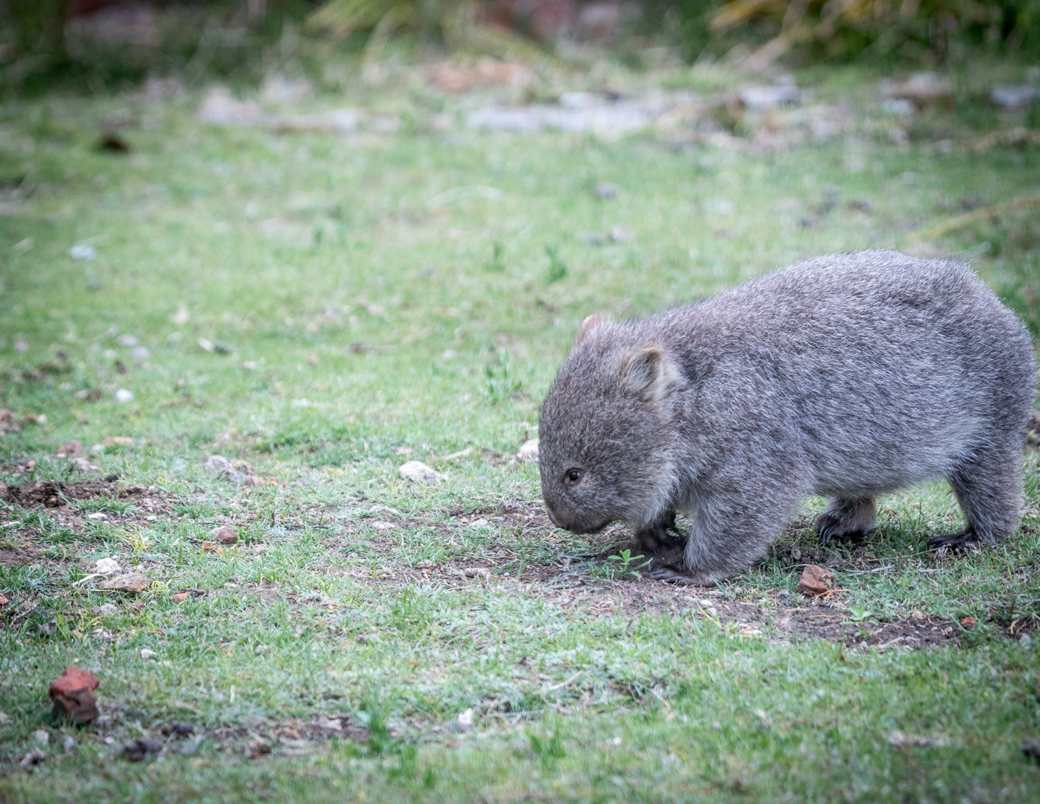 Where to see wombats in the wild close to Sydney: Bundanoon