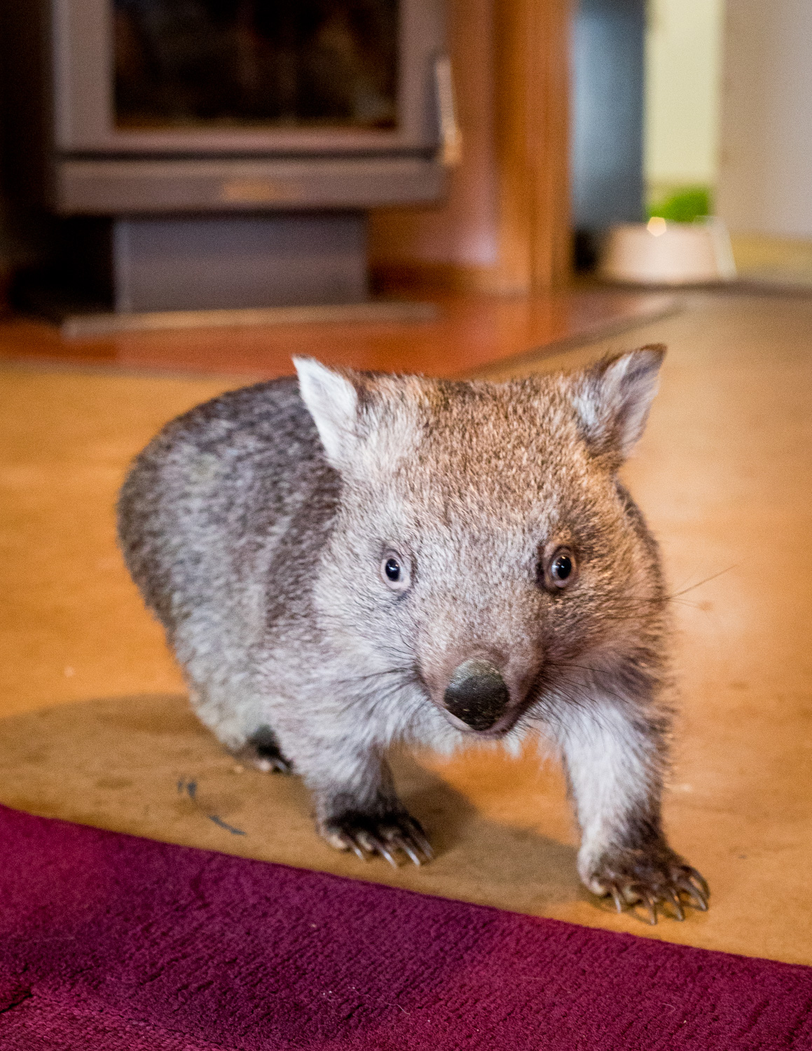 Where to see wombats in the wild near Sydney: Sleepy Burrows