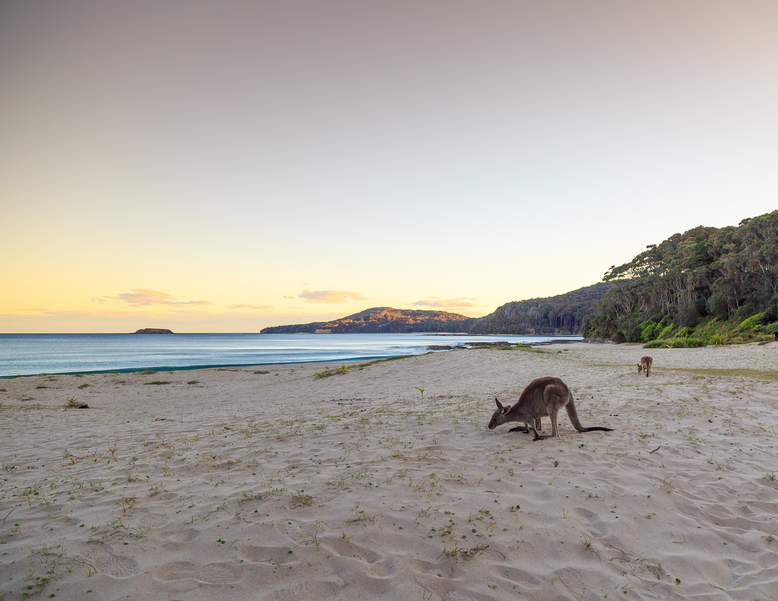 The beautiful kangaroos on the beach at Murramarang National Park in New South Wales. You can walk right up to them and they won't move.