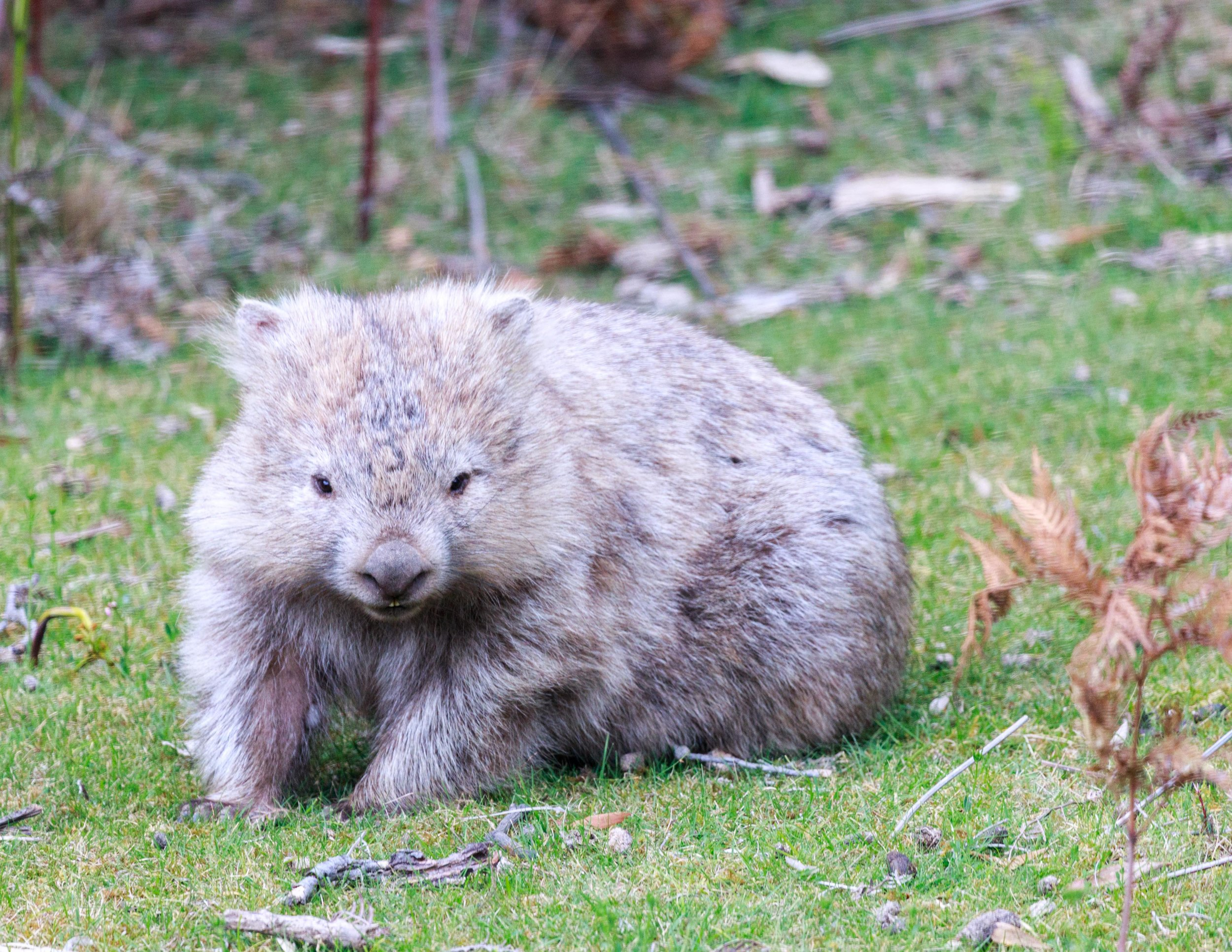 Where to see wombats in the wild: Wilson's Prom, Victoria