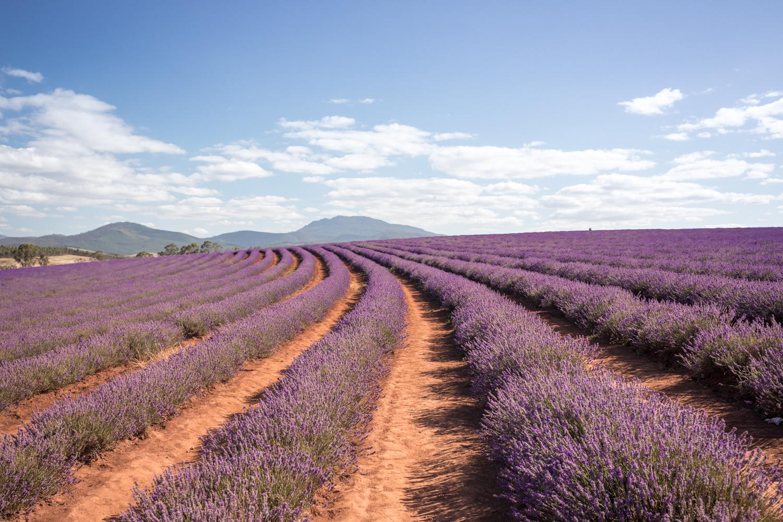 Two weeks Tasmania itinerary: Bridestowe Lavender Estate