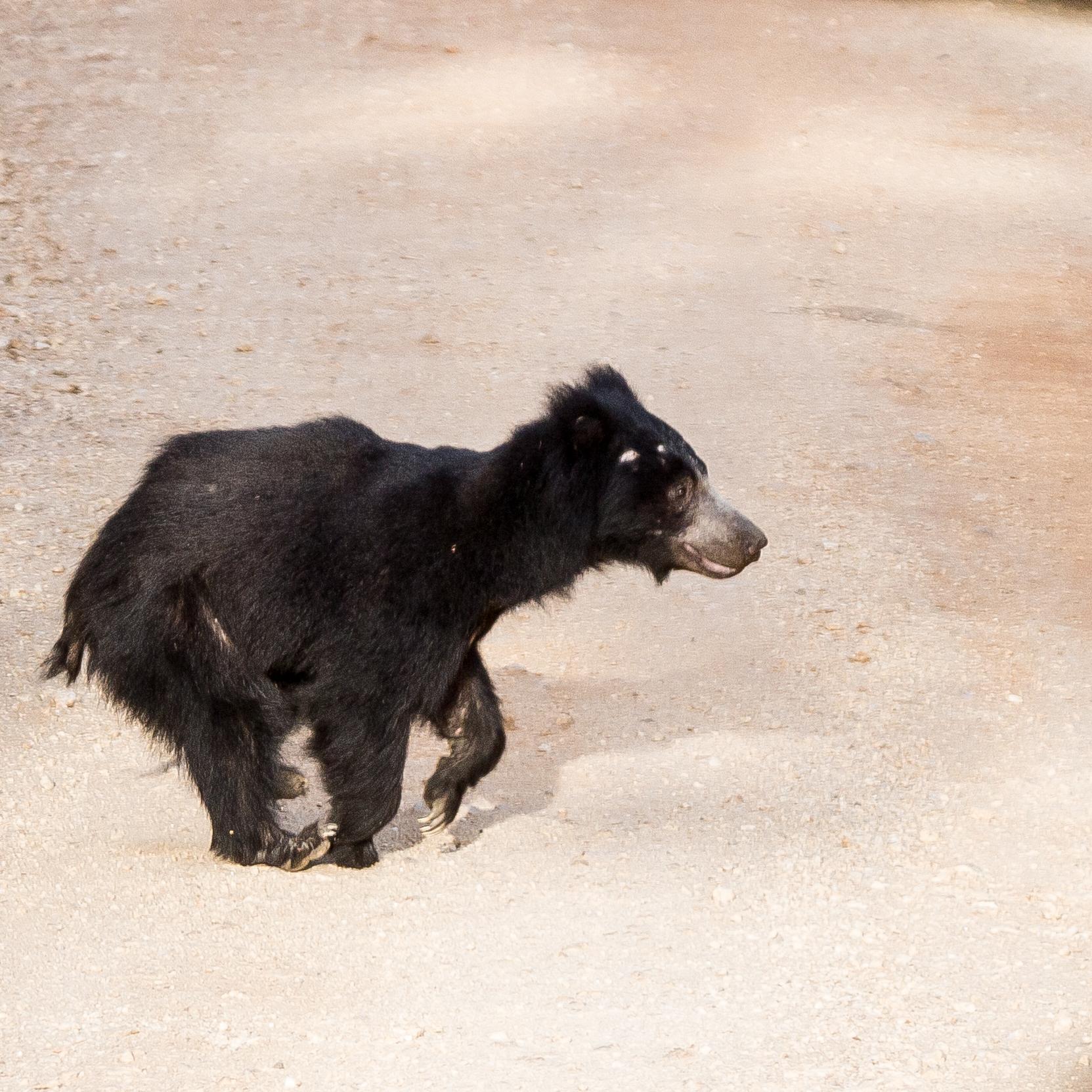 Yala Safari: Sloth Bear