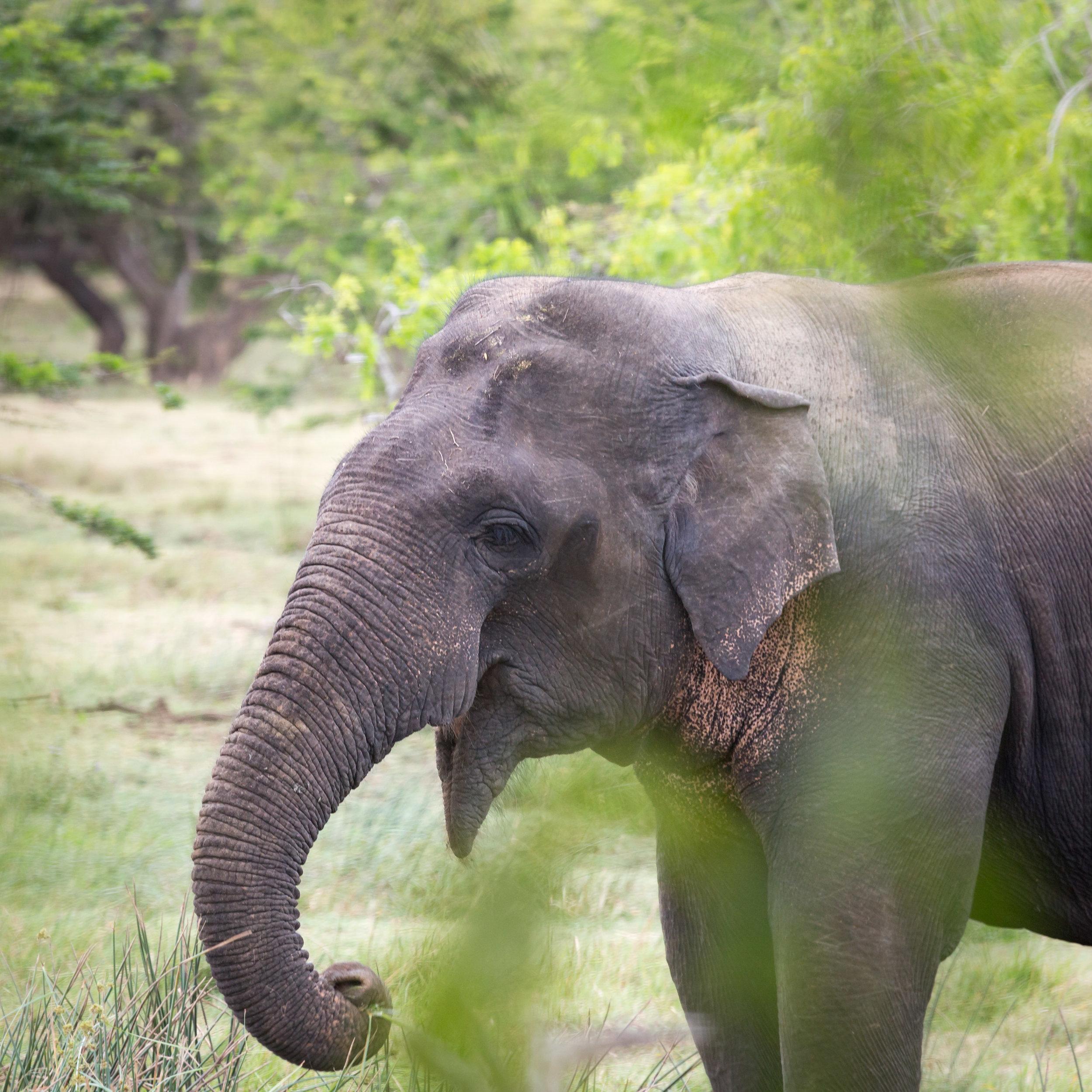 Yala Safari: Elephants