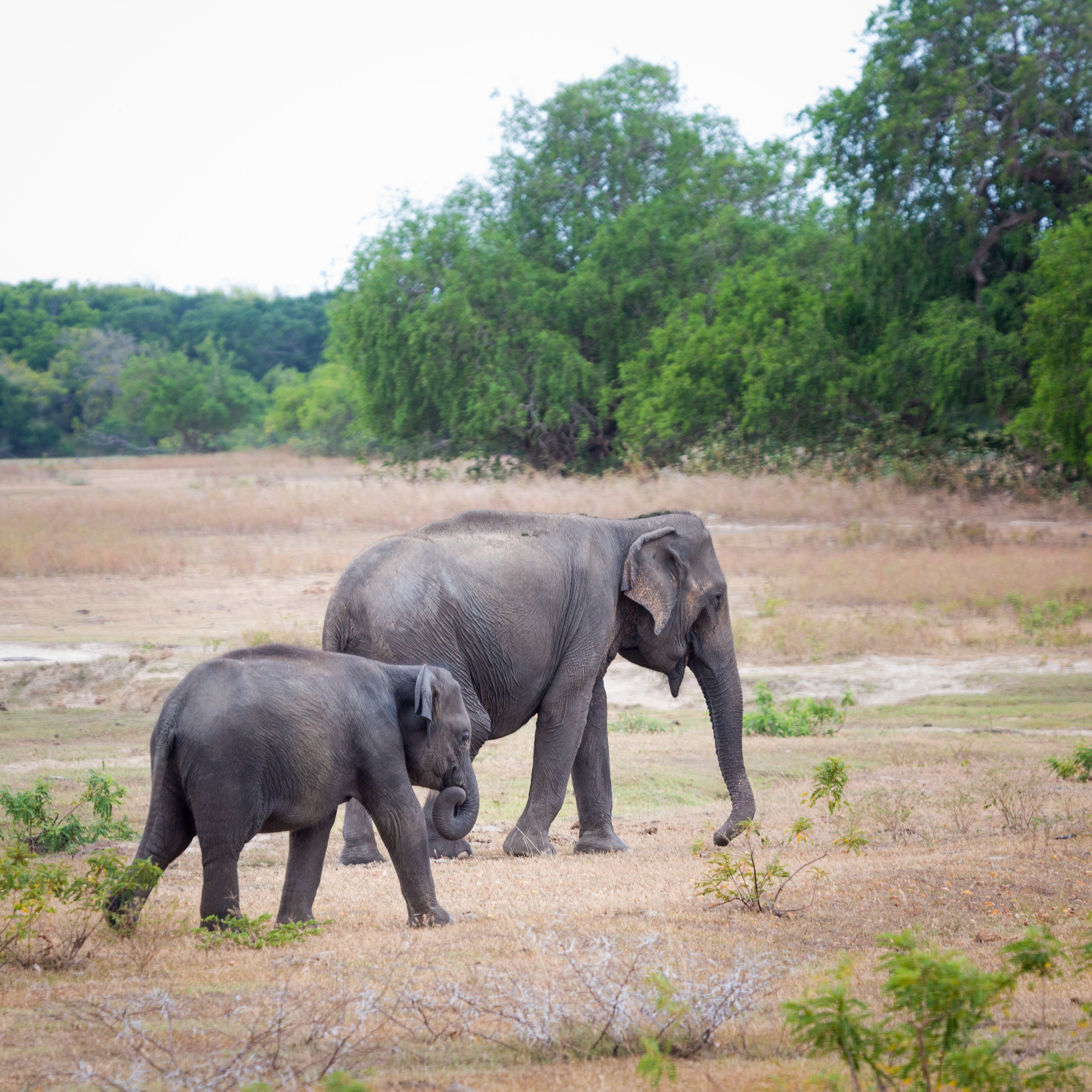 What you can expect from a visit to Yala National Park: Elephants