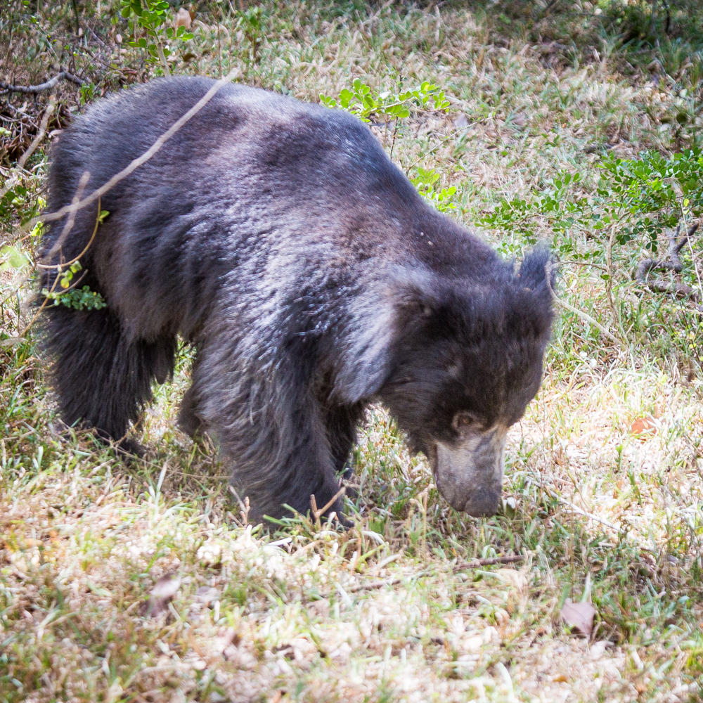 Yala Safari: Sloth Bears