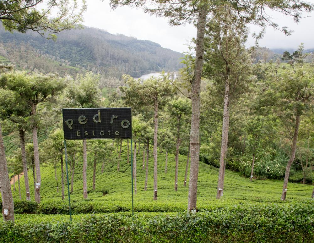 Places to visit in Nuwara Eliya - Pedros tea plantation