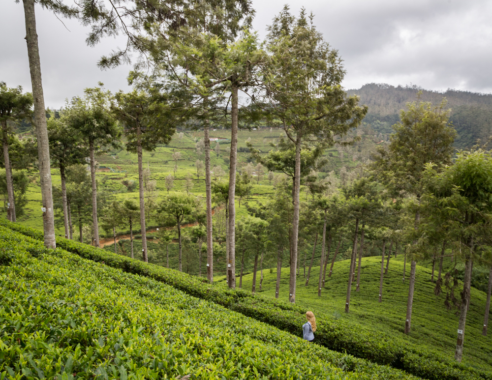 Places to visit in Nuwara Eliya - Tea Plantations