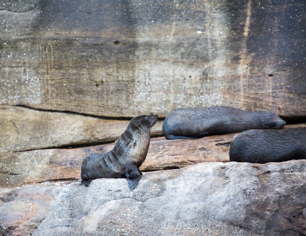 Best things to do in Sydney: Bennelong the Seal