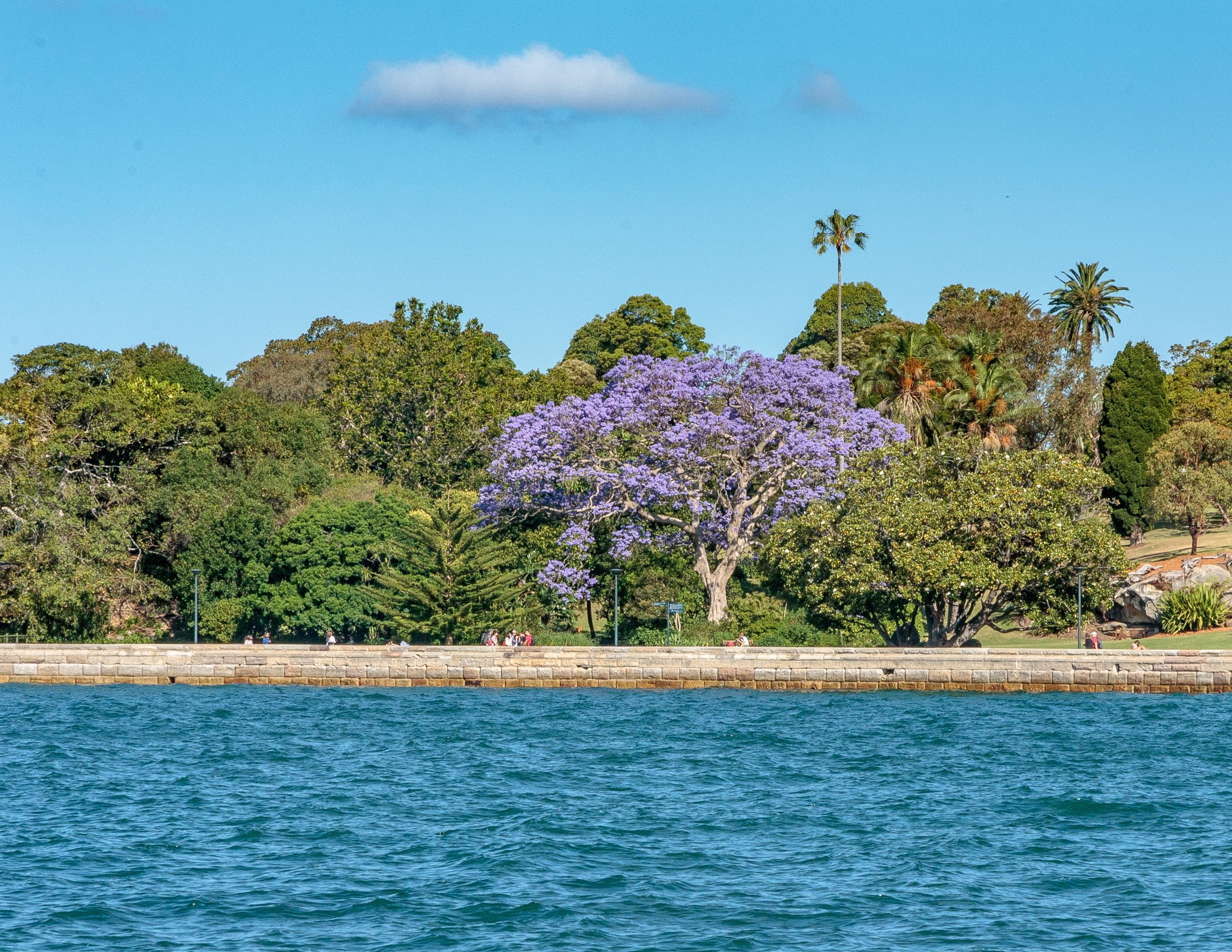 Best time to visit Sydney: Jacaranda Bloom