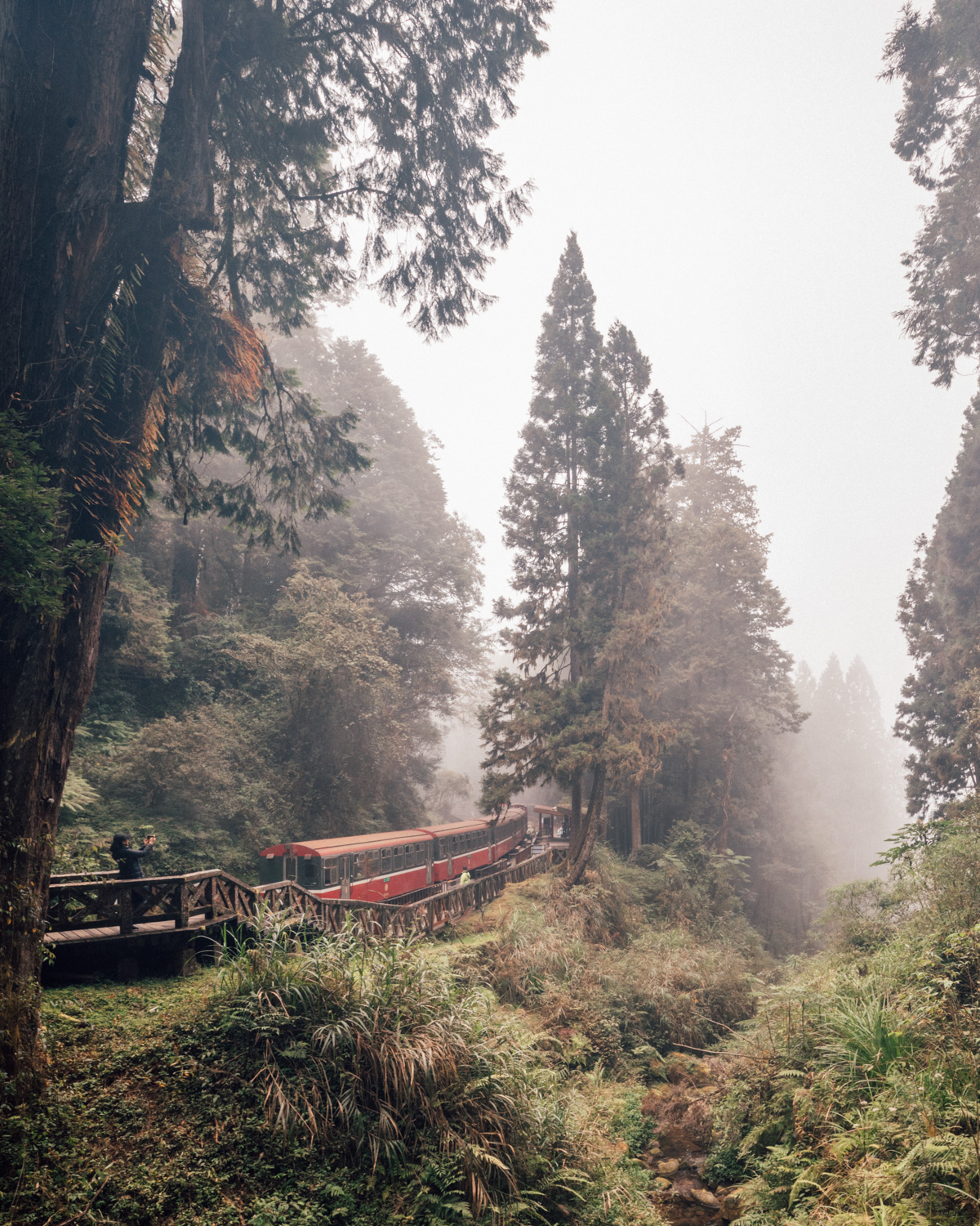 The misty forest of Alishan