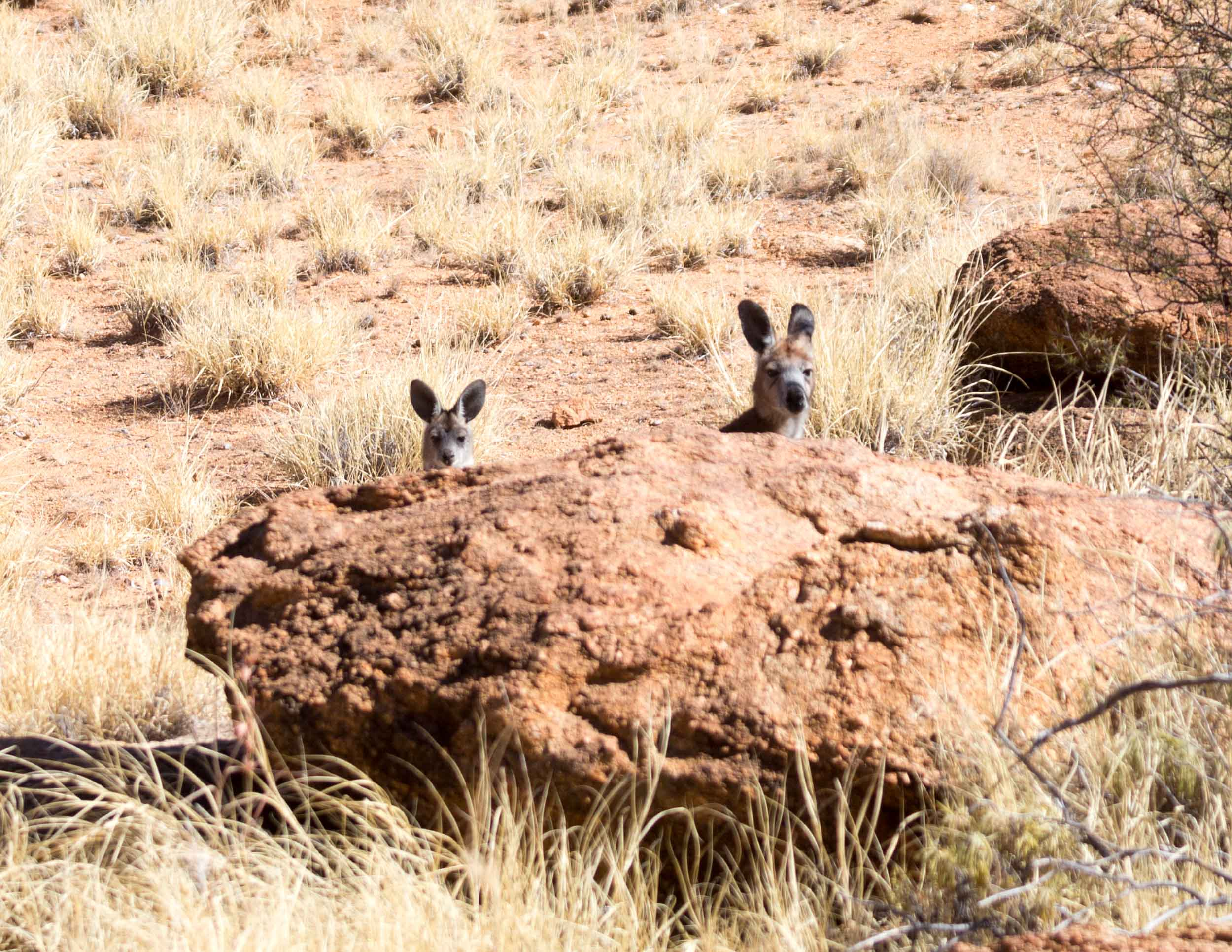Wallaroos in Alice Springs Telegraph Station