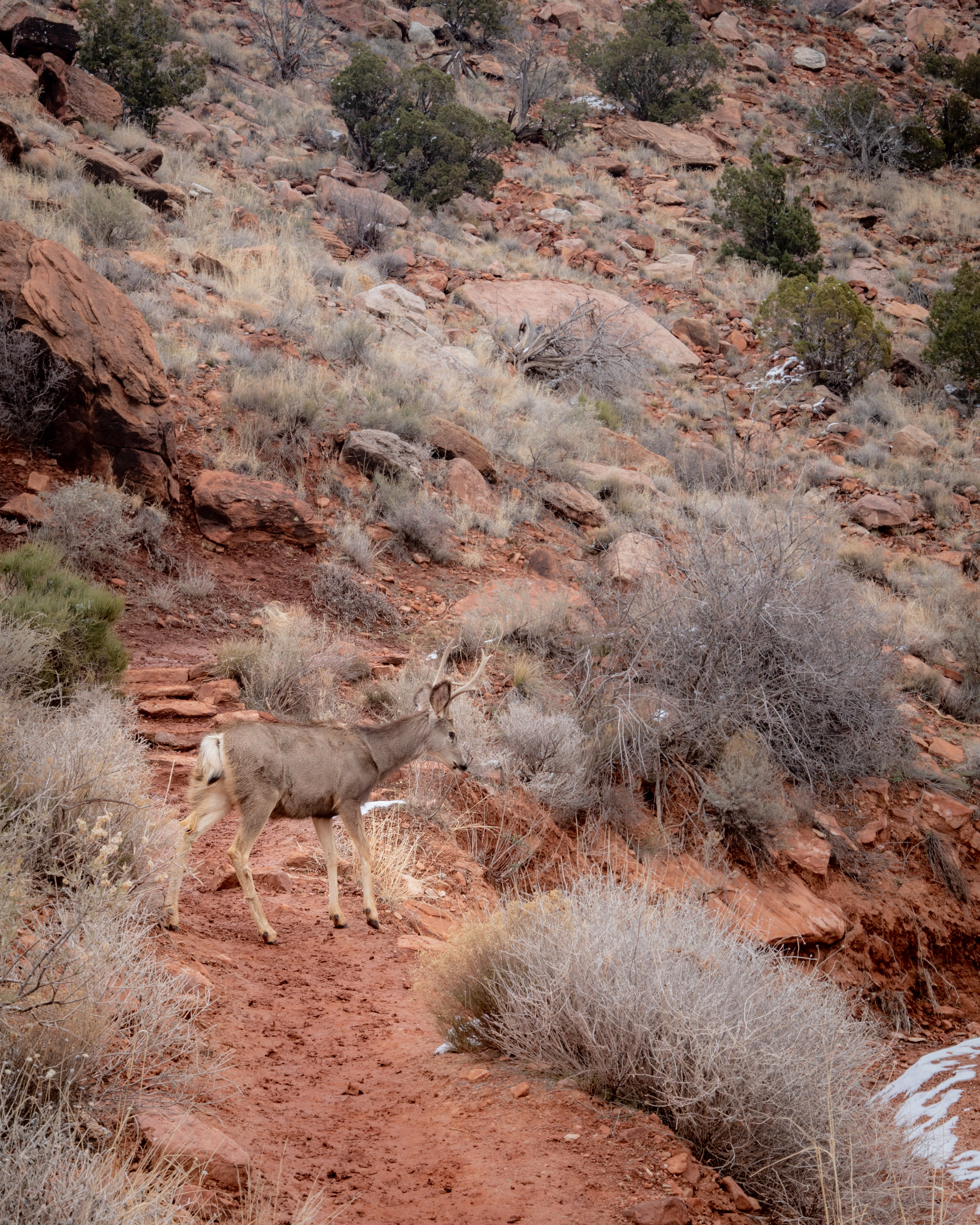 Deer crossing the path on the Watchman Trail