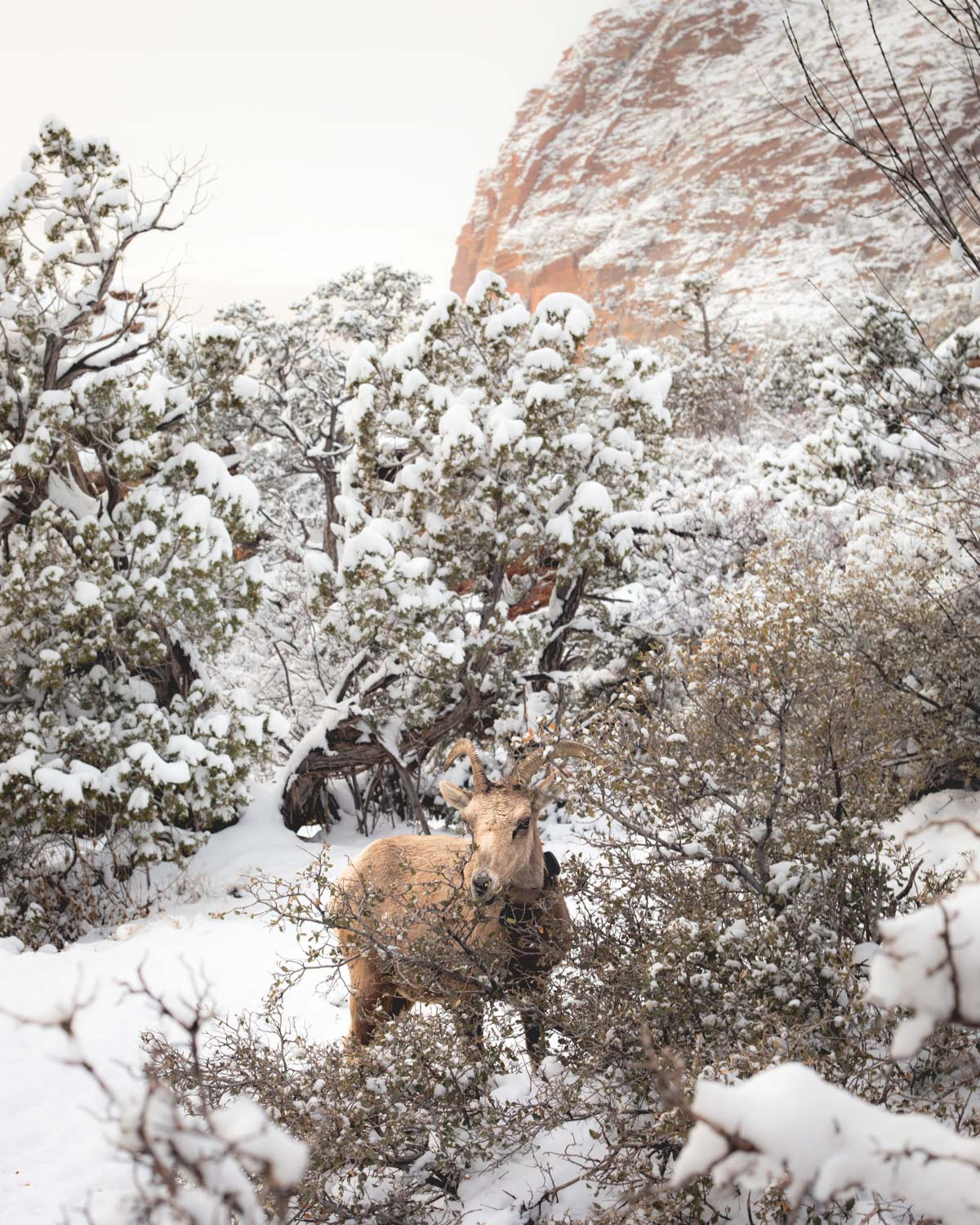 Even the Bighorn Sheep feel the cold!