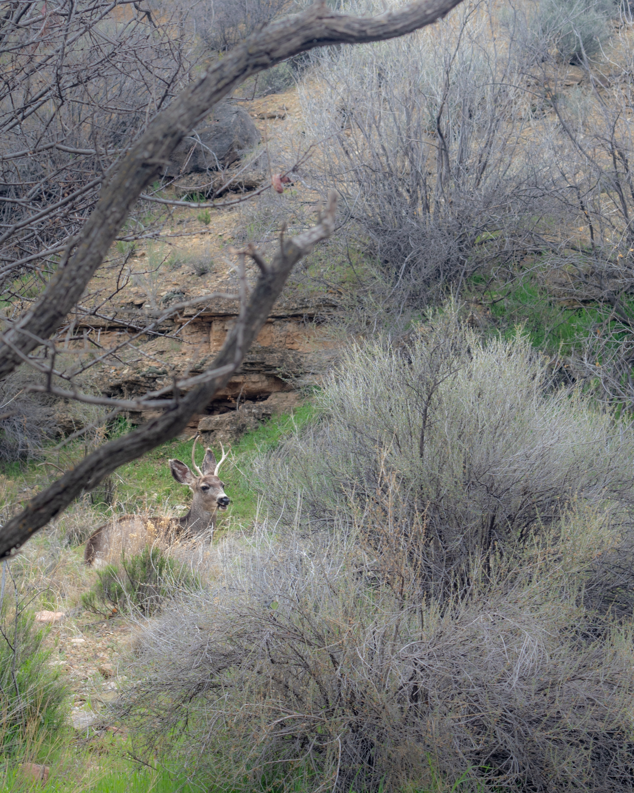 One of the three mule deers we saw