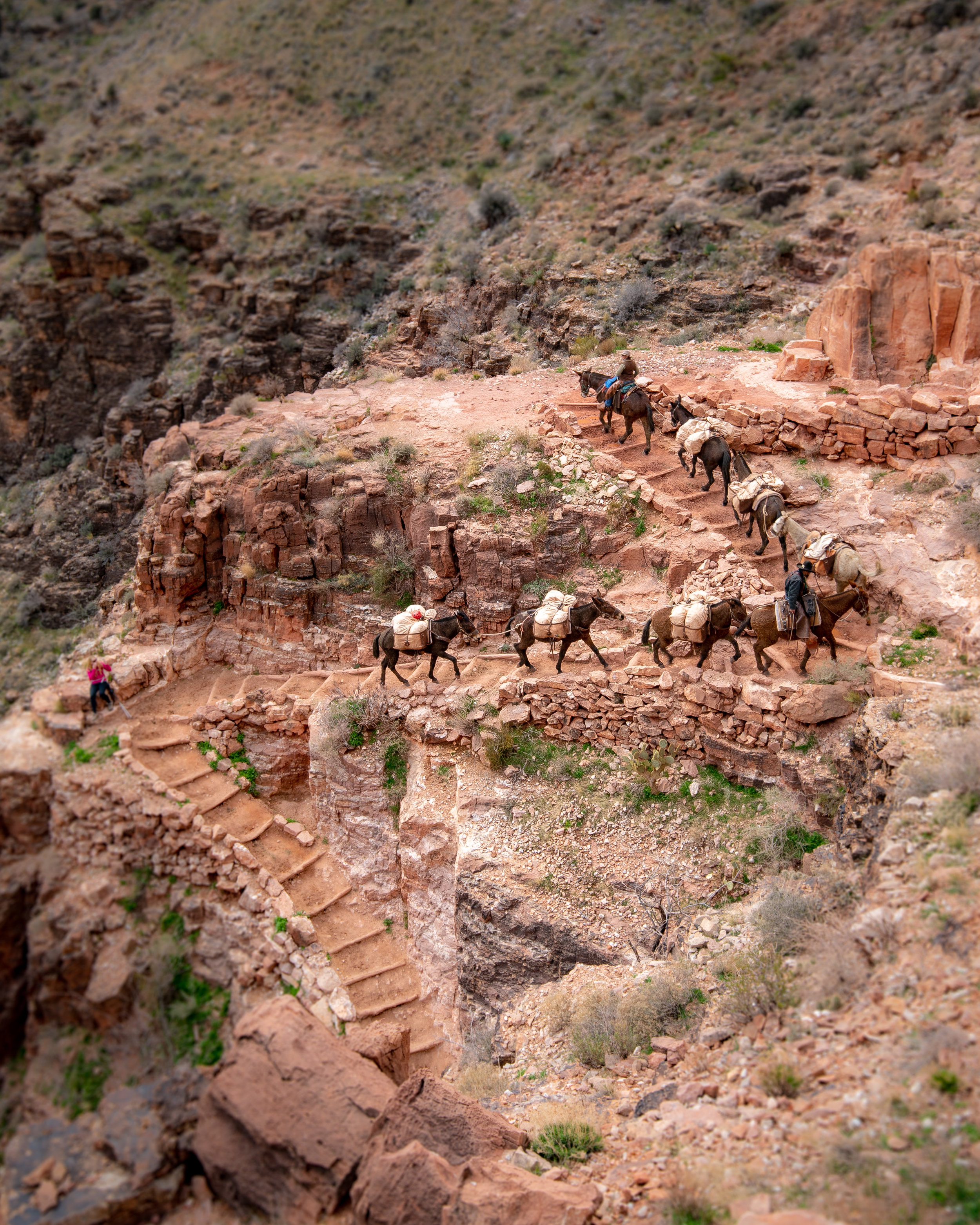 The mules on the South Kaibab Trail