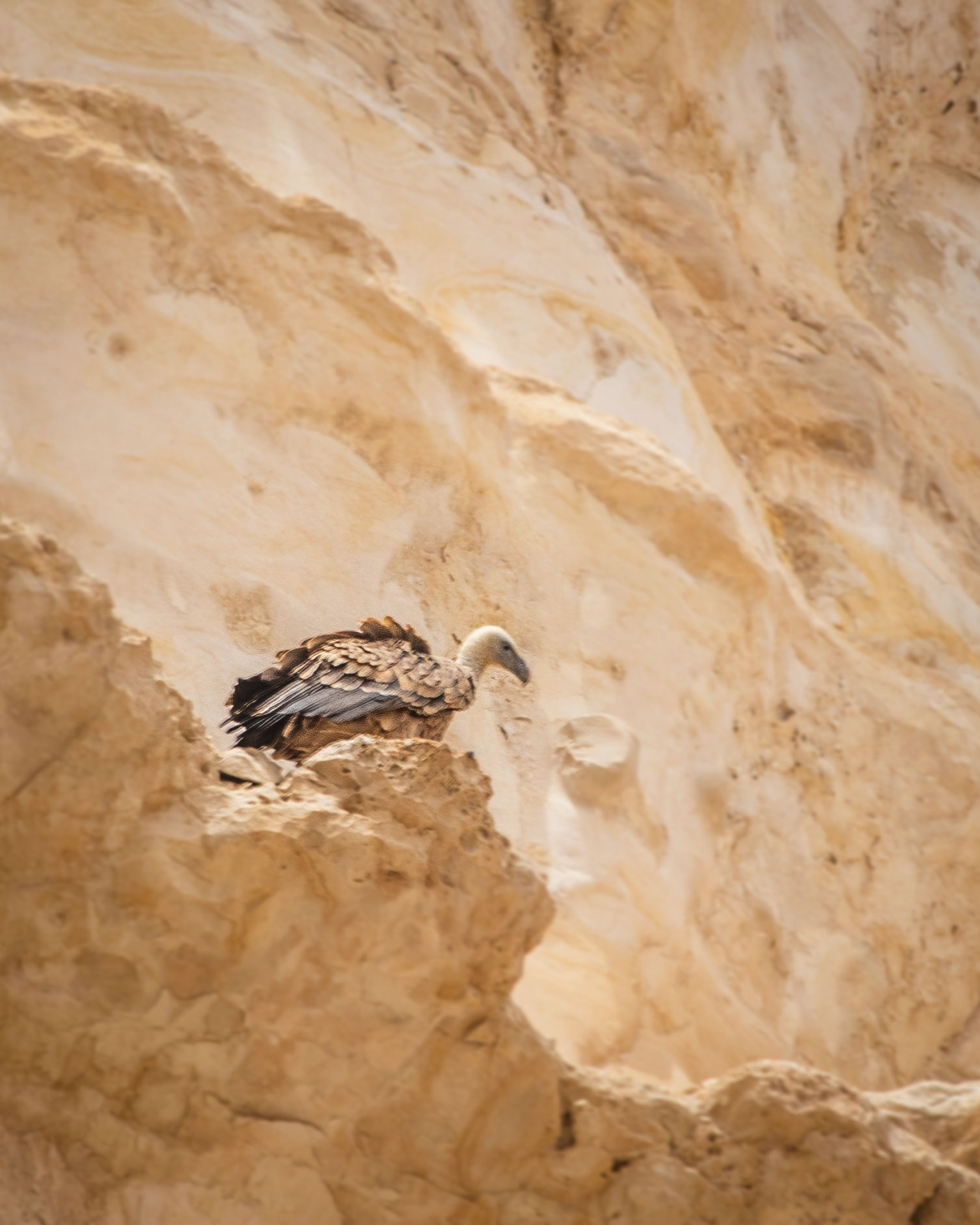 Vultures in Ein Avdat - things to do in Negev