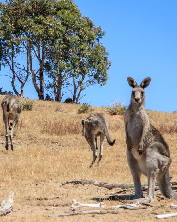 Canberra, Best places to see wild kangaroos close to Sydney