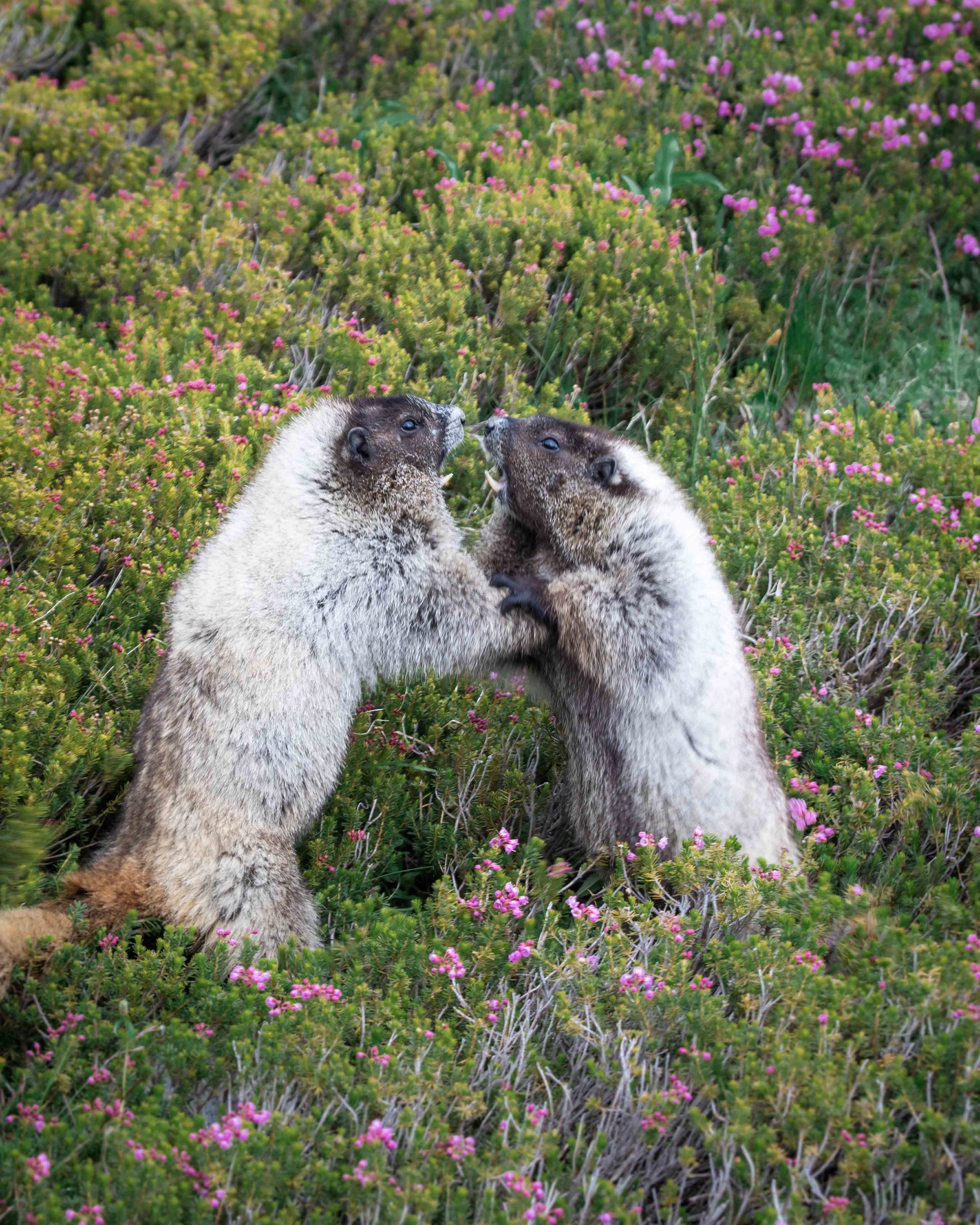 Marmots fighting at Mount Rainier