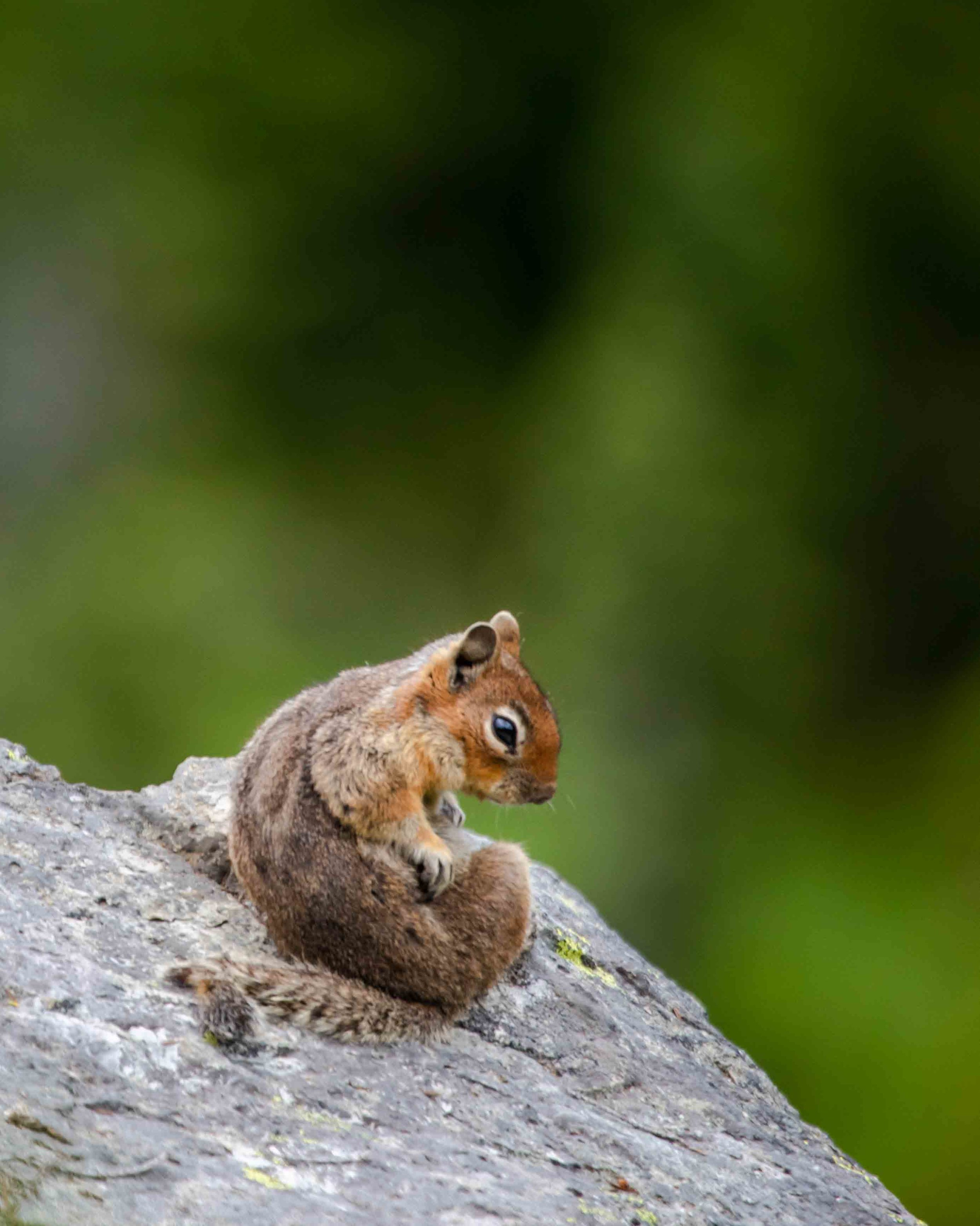 Chipmunk at Mount Rainier