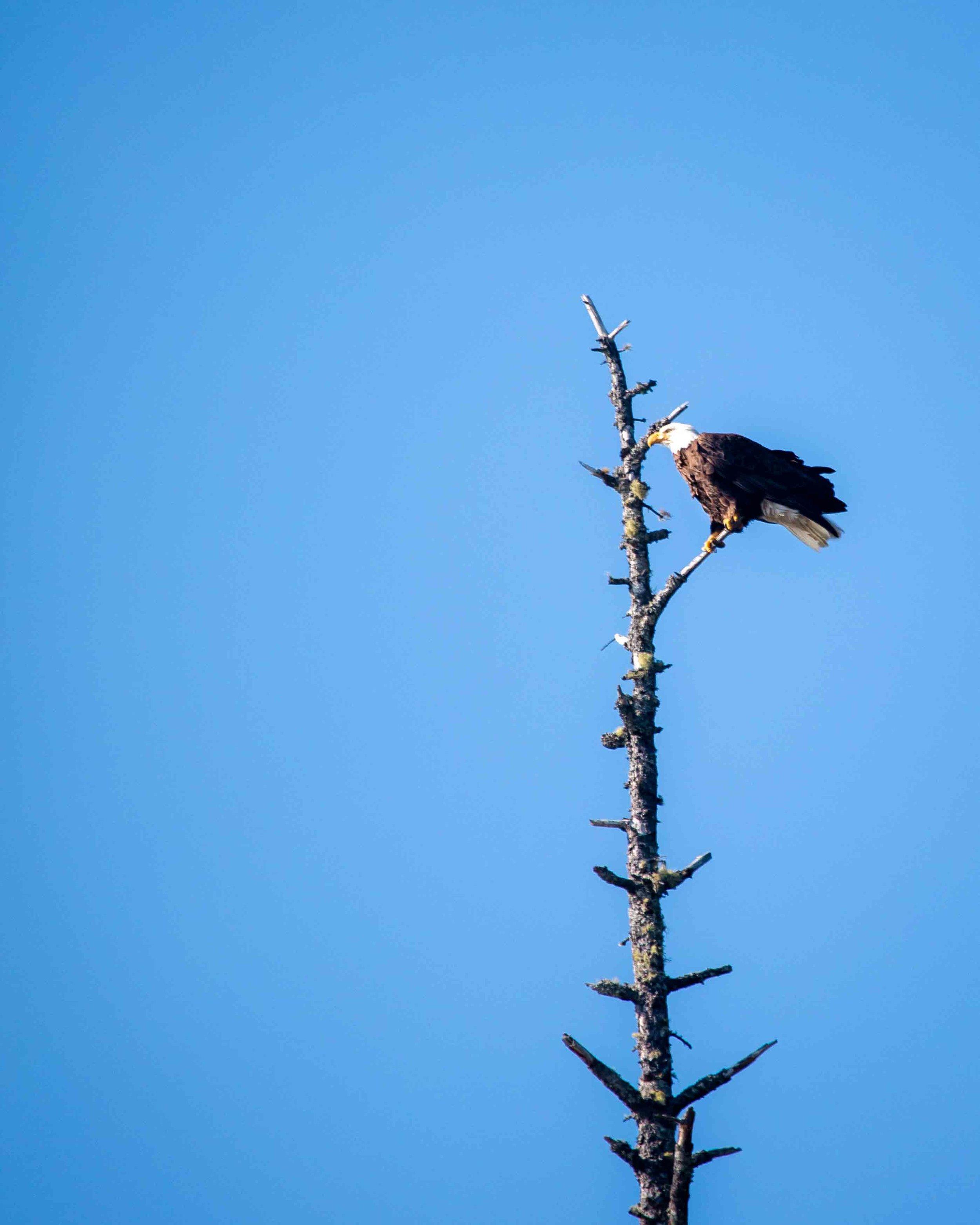 Bald Eagle at Rialto Beach