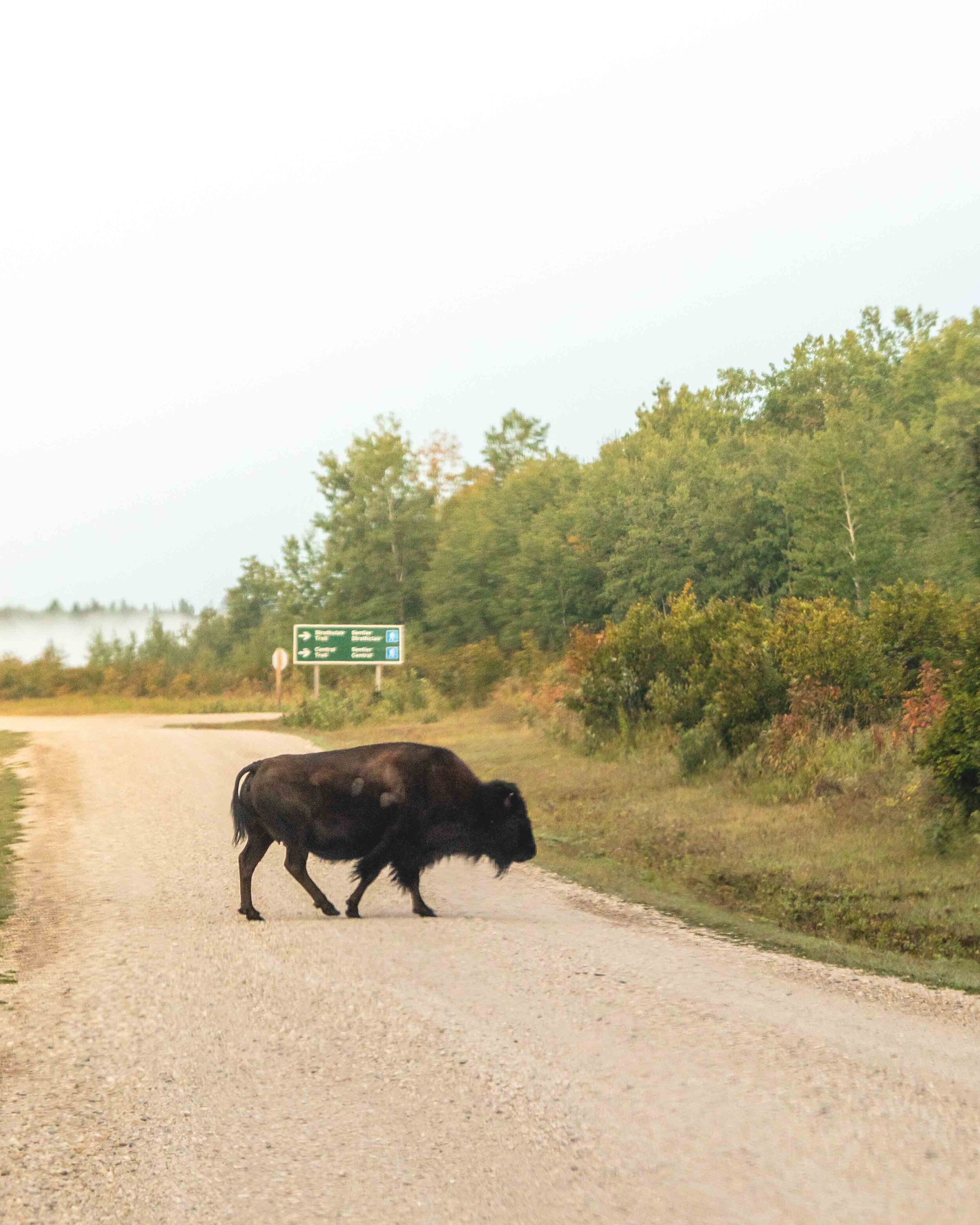 Bison on the road in Manitoba