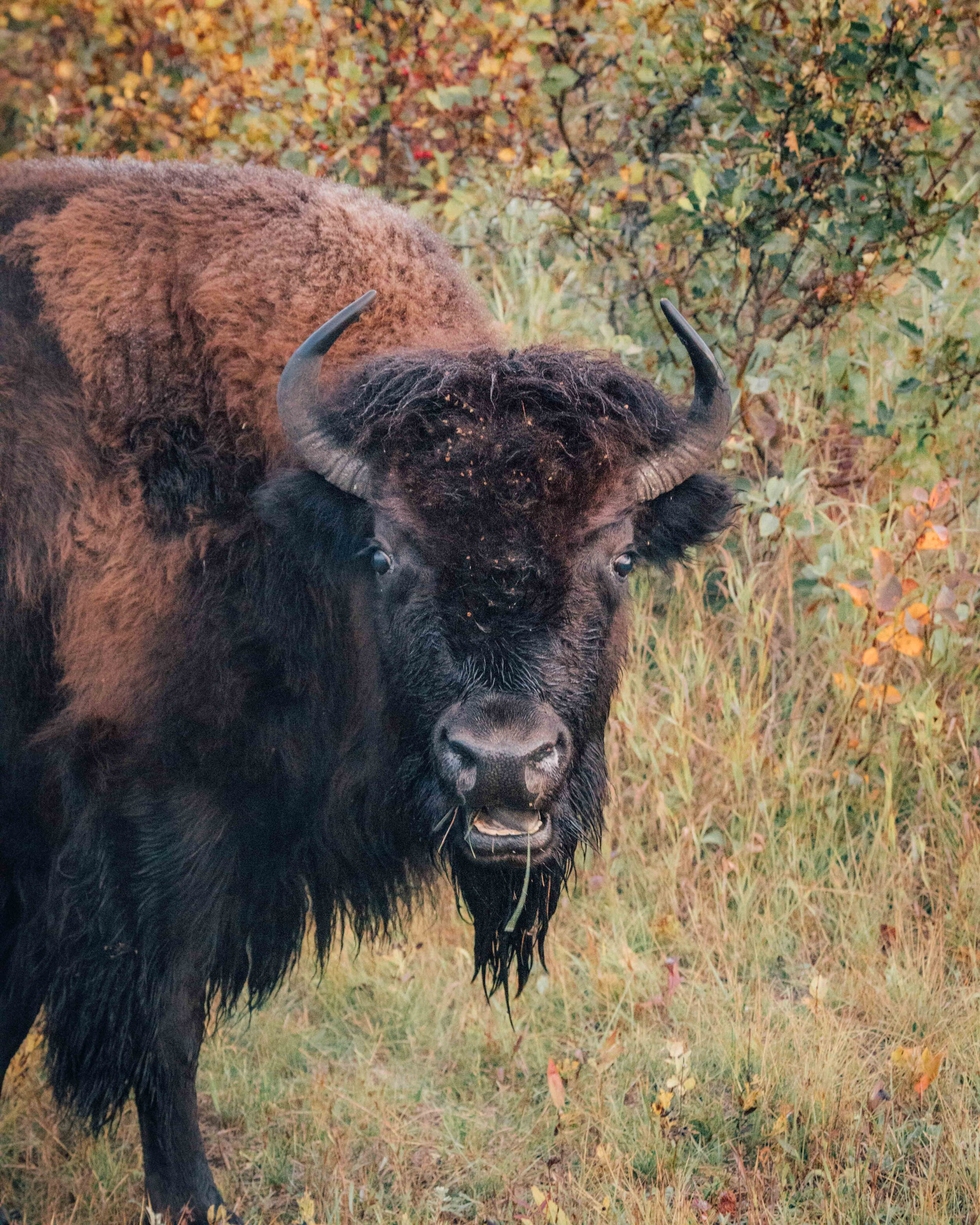 Bison at Riding Mountain National Park