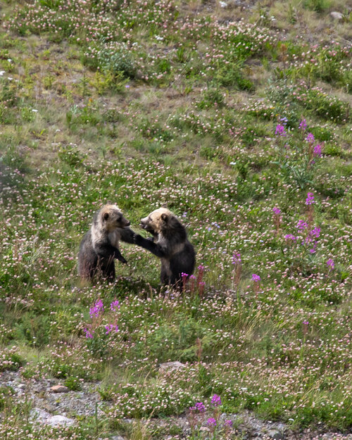 Grizzly bear cubs on the Lake Louise Gondola