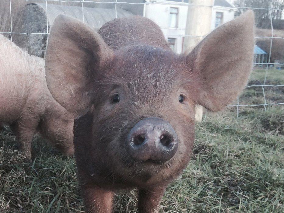 02 Cym Berach Uchaf pig close up mid size.jpg