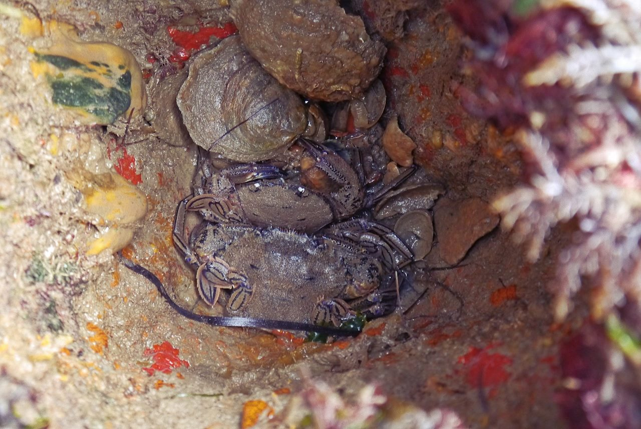 Velvet swimming crabs and clams co-exist inside a broken pier strut