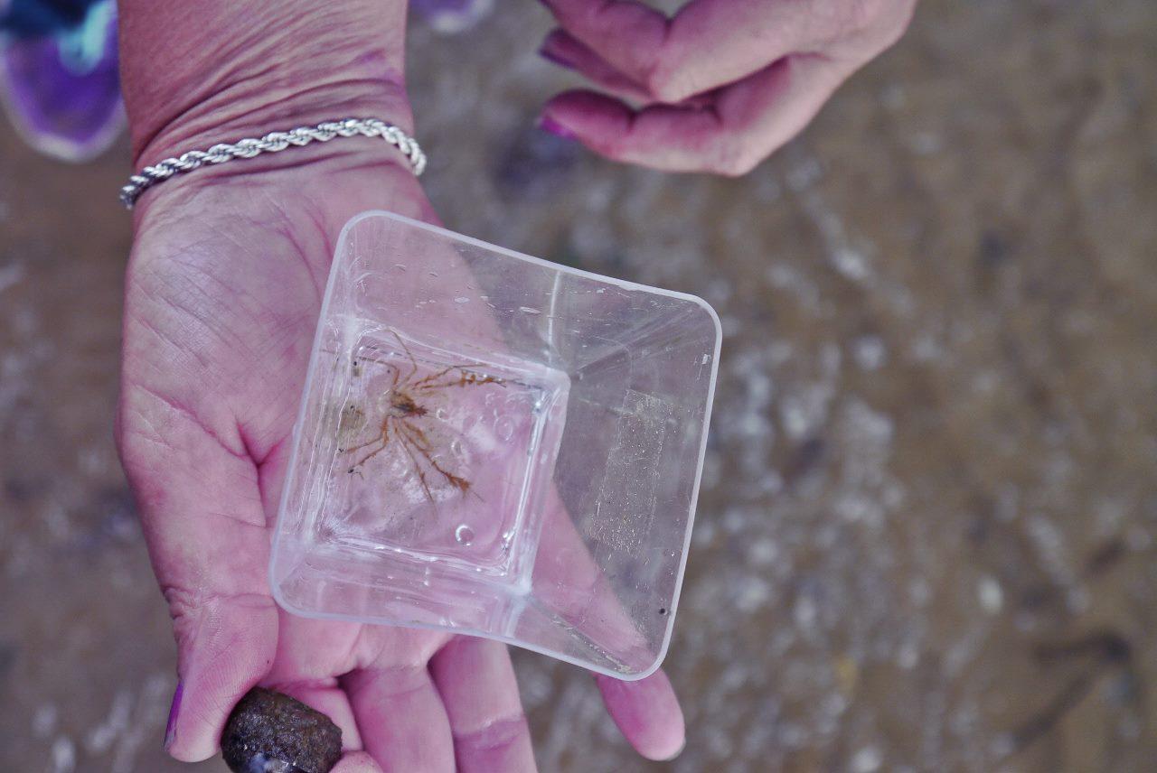 A small spider crab species, Macropodia