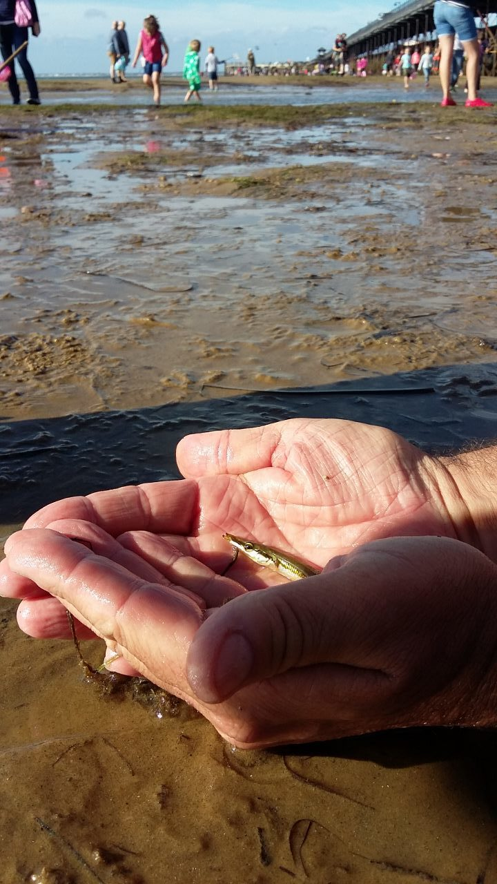 Taking a quick look at a 15-spine stickleback before it goes back in the sea