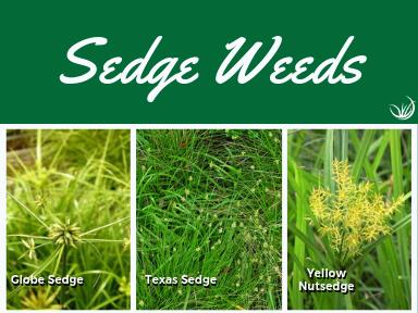 Sedge  Weeds.png