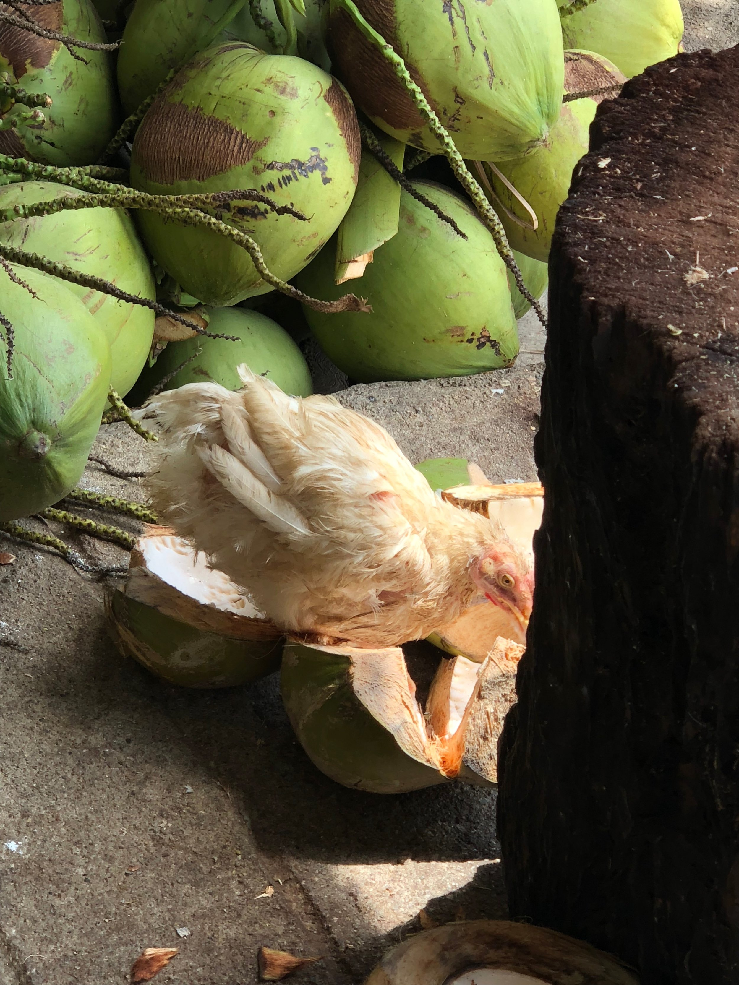 One of Ninfa's happy chickens picking at the coconut remnants left behind. That is extreme free range. Nothing wasted. The coconuts are composted on the side of her house and as they dry can be used as kindling for cooking over open fire.