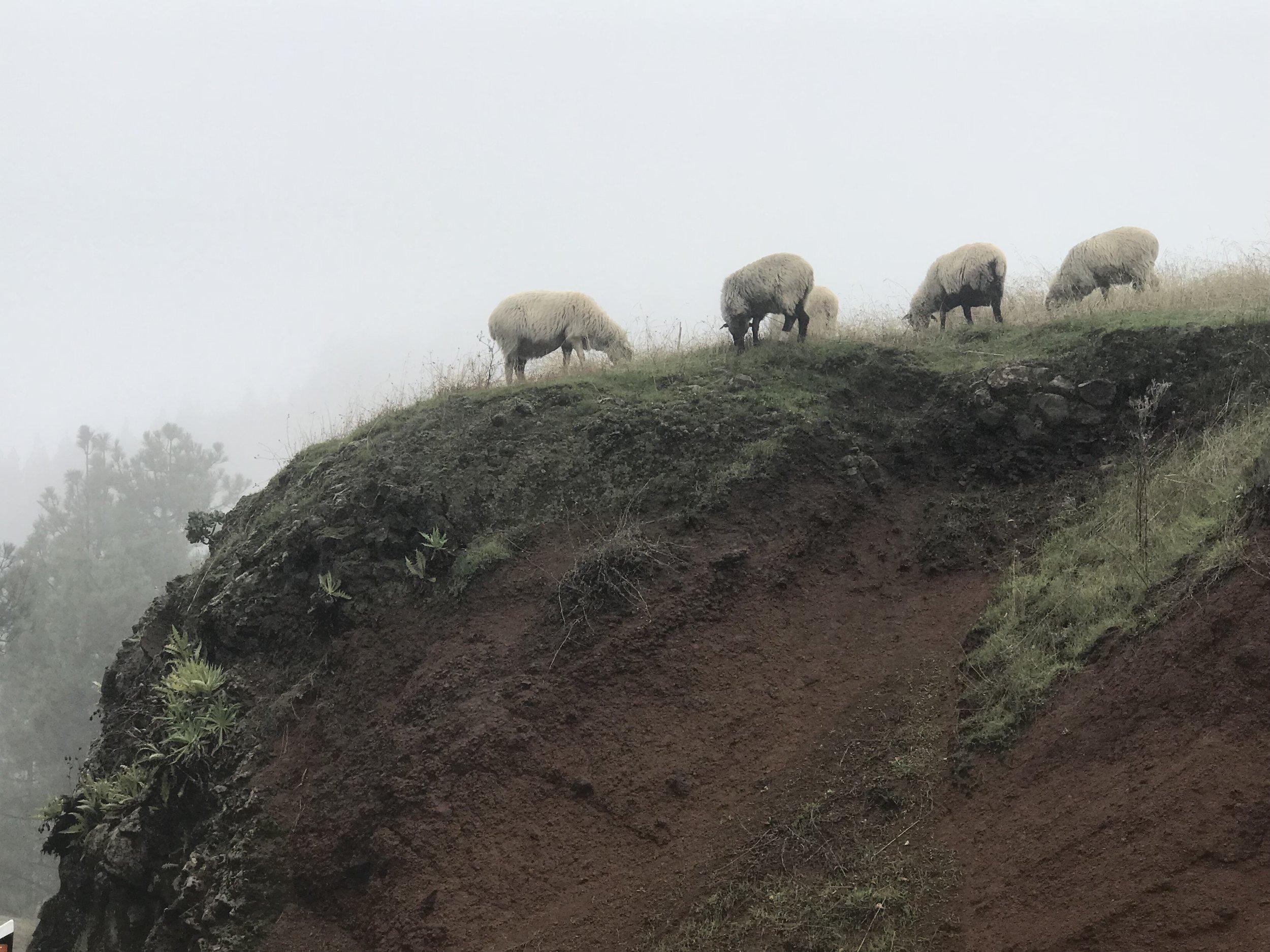The sheep of Gran Canaria