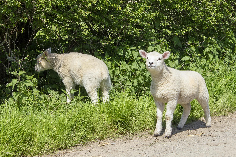 Sheep across from Langley Chapel May 6 2018.jpg